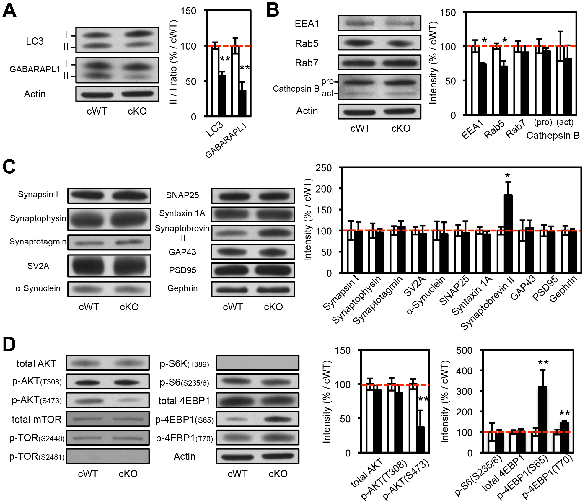 Biochemical analyses of the protein extracts from the striatal synaptosomes of <i>Atg7</i> cKO mice.