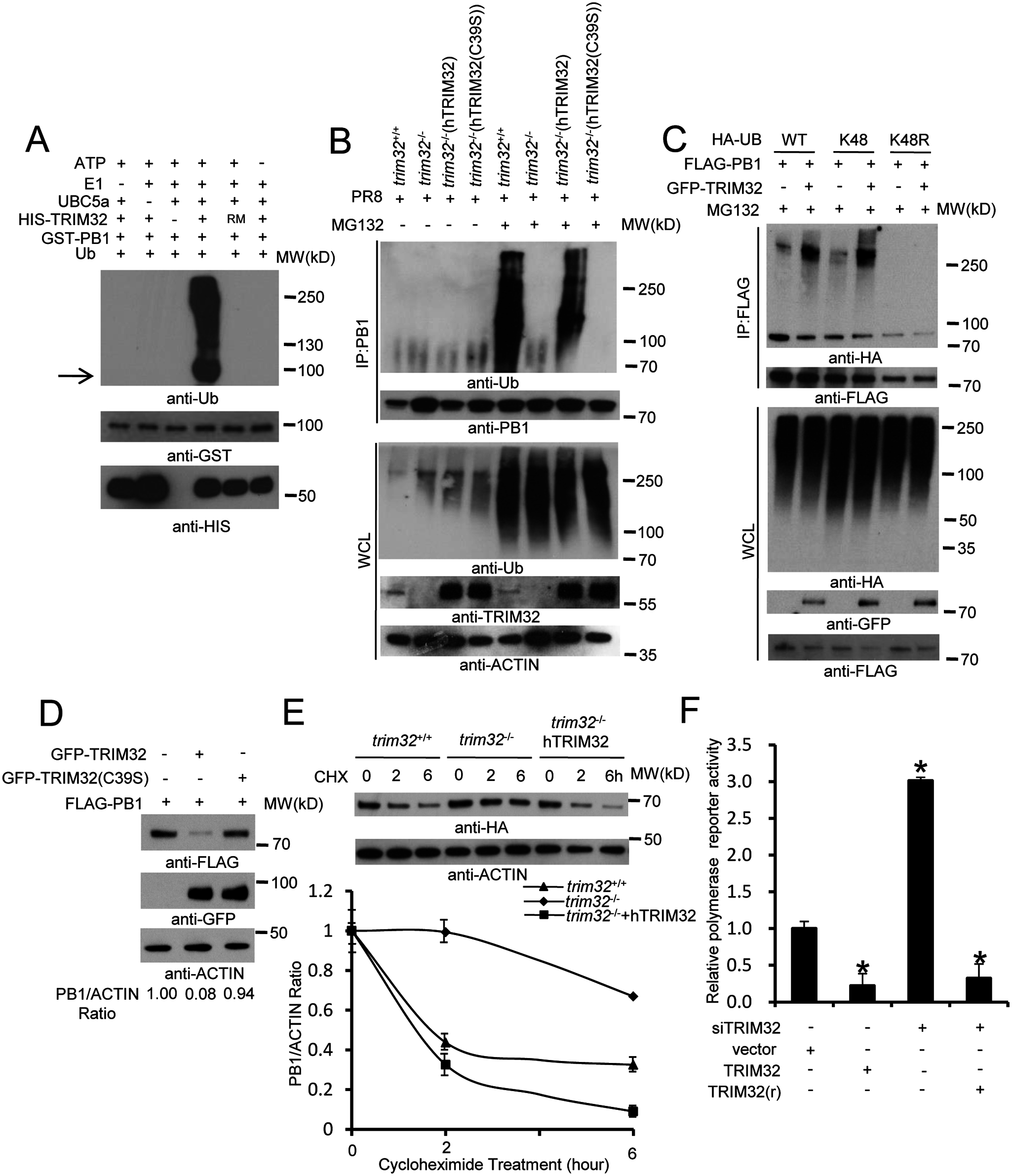 TRIM32 limits viral infection by targeting PB1 for ubiquitination.