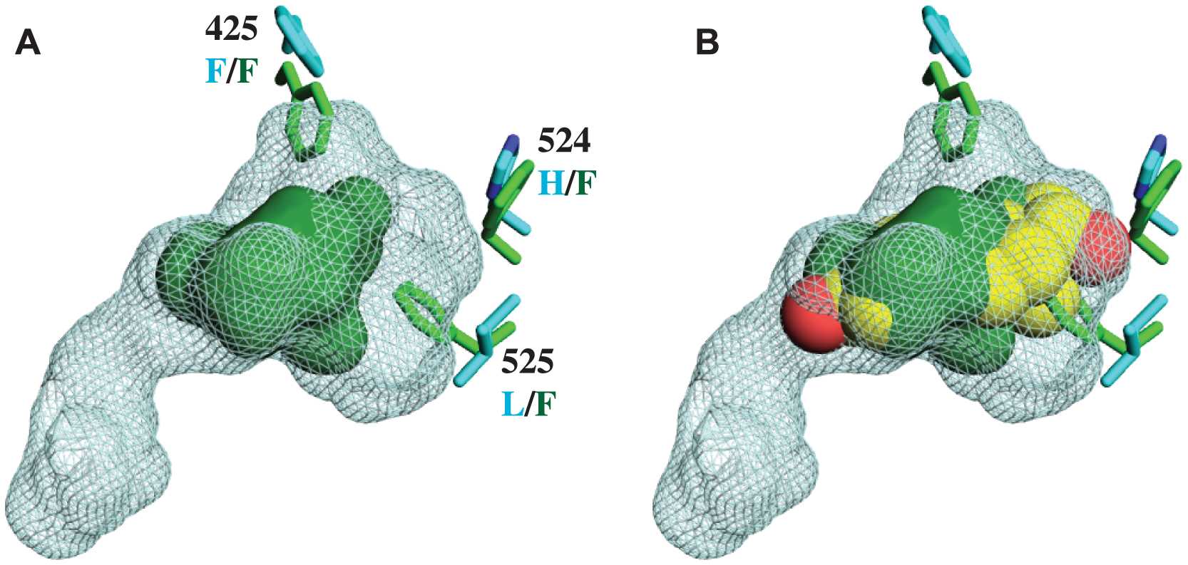CgER ligand binding pocket is too small to accommodate estradiol.