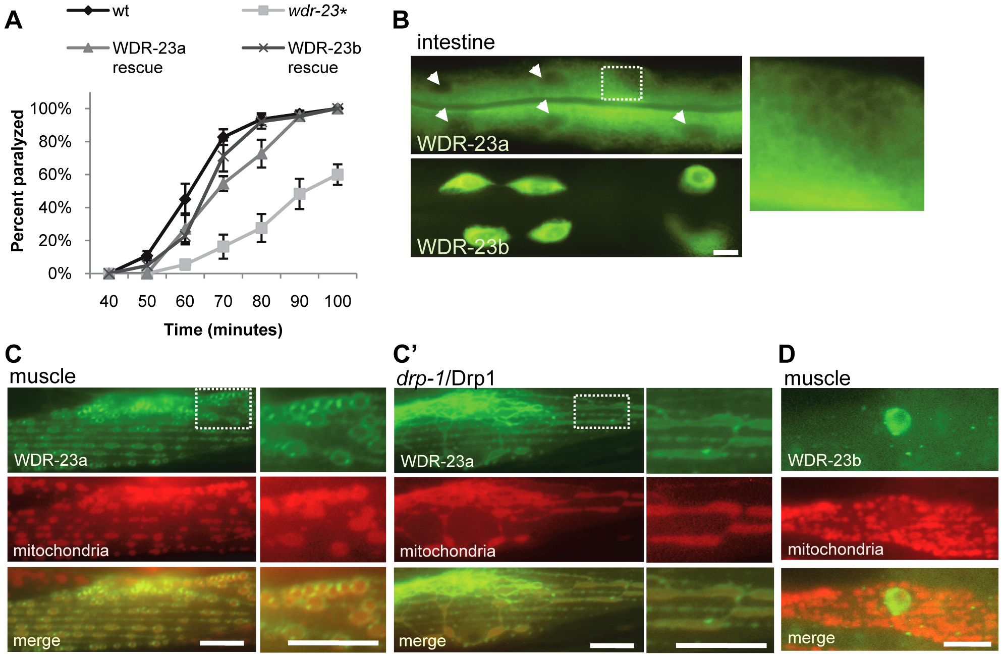 Subcellular localization and function of WDR-23 isoforms.