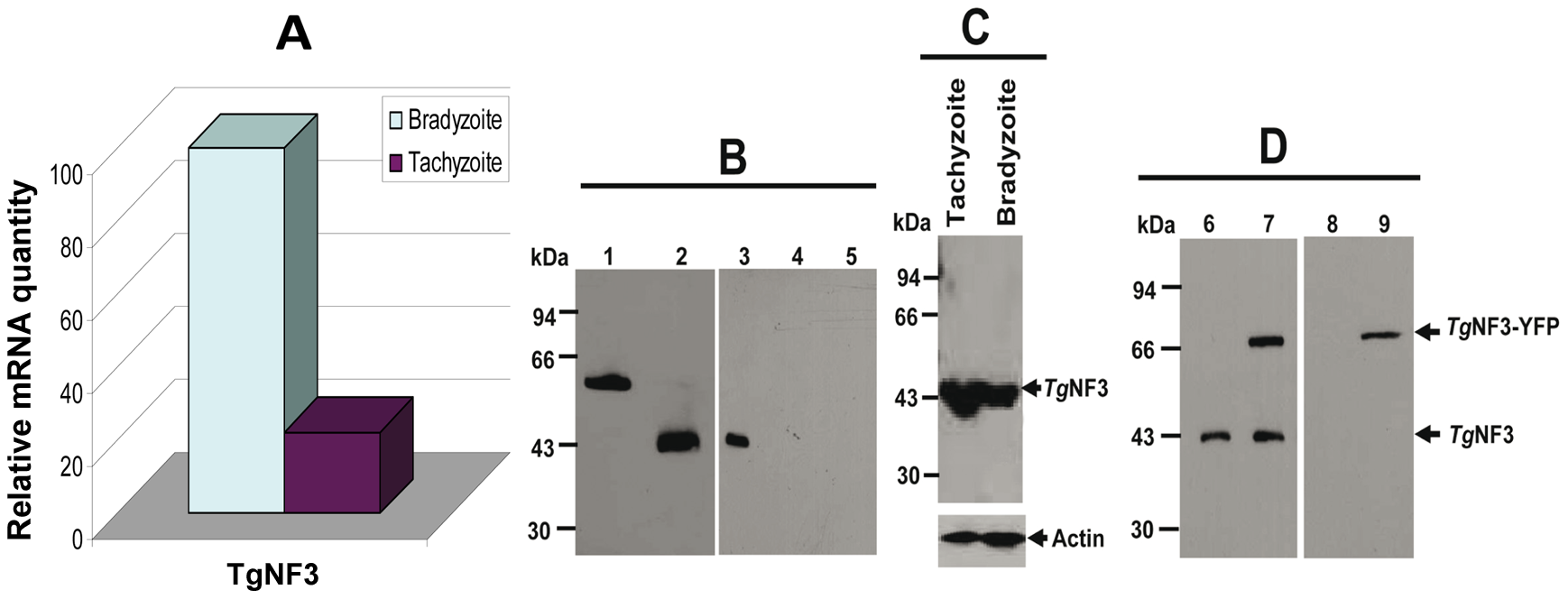 Comparison of the expression of <i>T. gondii</i> TgNF3 transcript and protein between tachyzoites and bradyzoites.