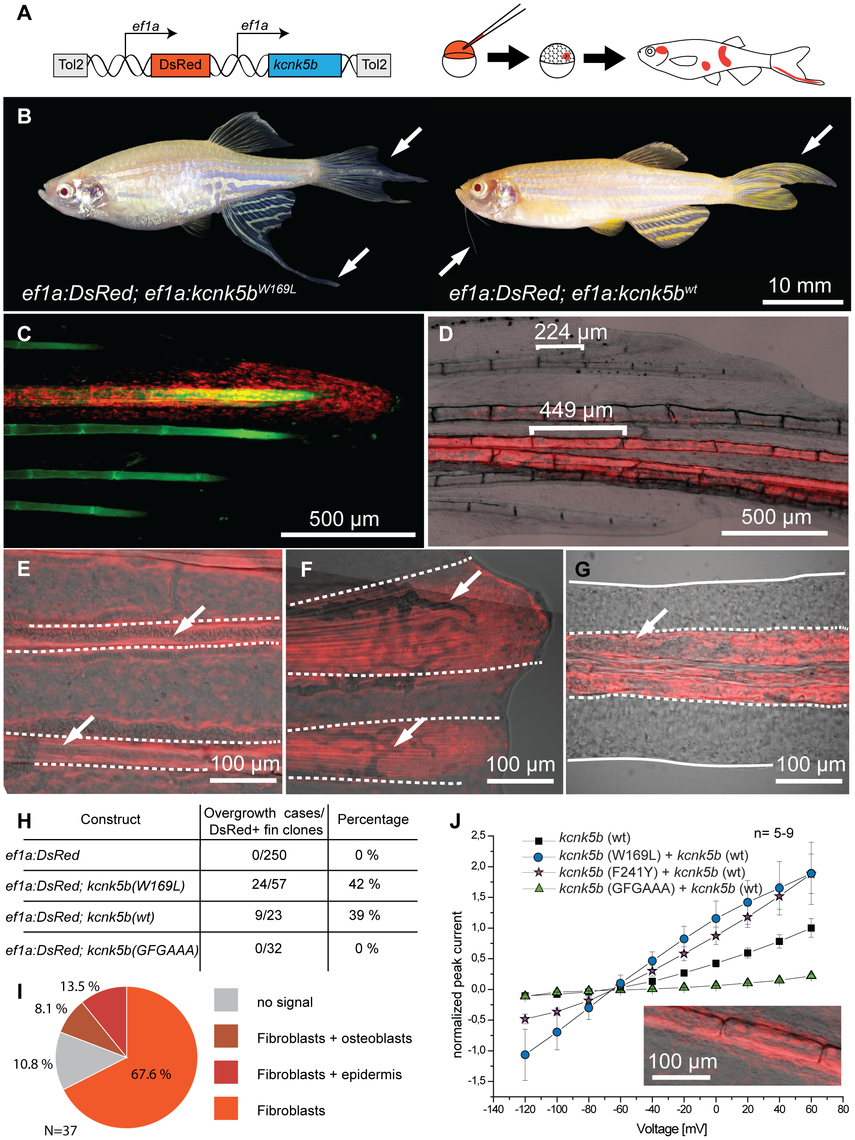 Overexpression of <i>kcnk5b</i> is sufficient to cause fin overgrowth.