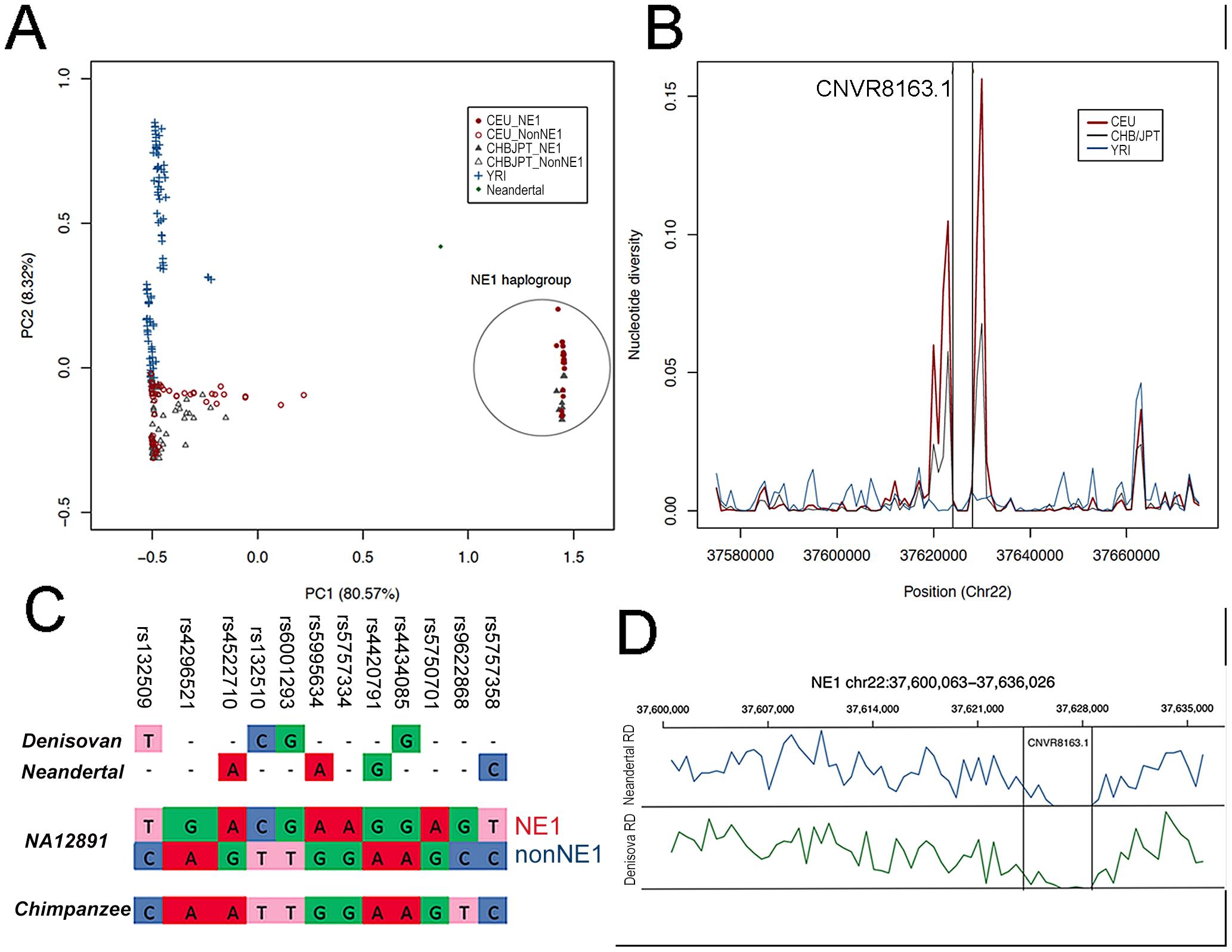 NE1 haplotypes share ancestry with Neandertals.