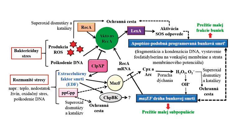Bunková smrť u baktérií a jej charakteristické fyziologické a biochemické znaky Figure 2. Bacterial cell death and its characteristic physiological and biochemical hallmarks