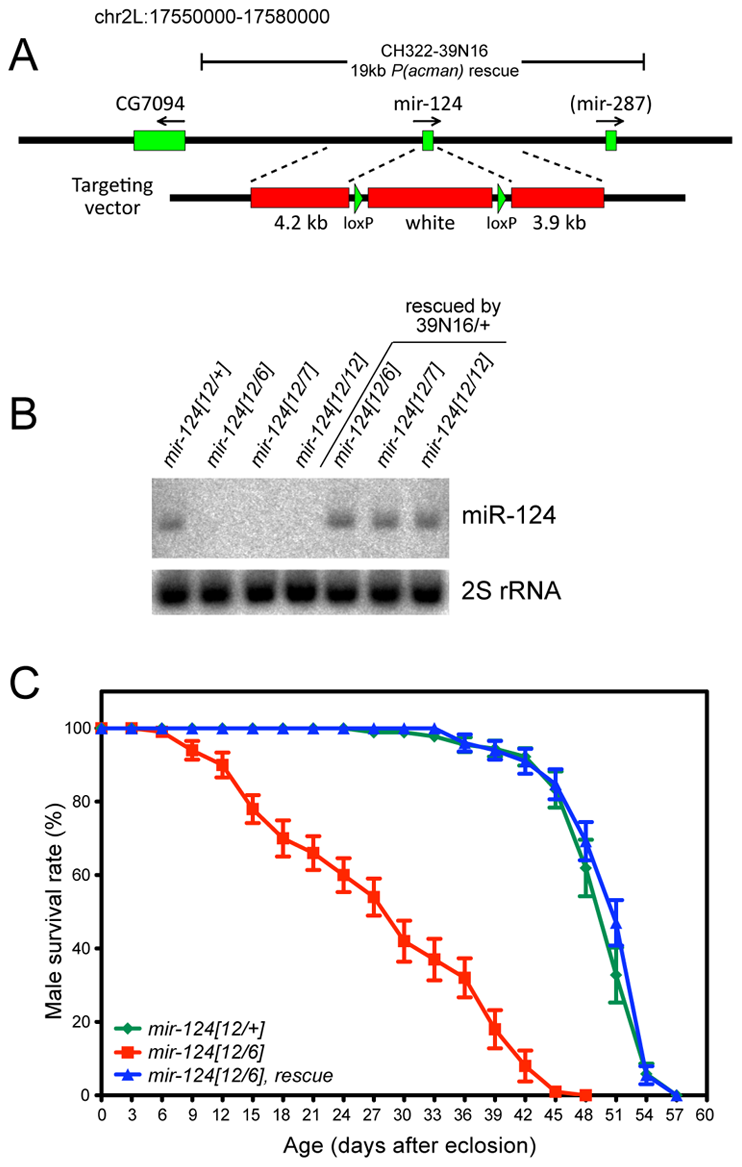 General characterization of <i>mir-124</i> knockout and rescue strains.