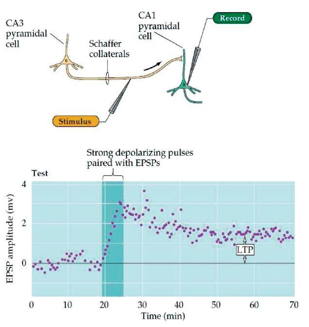 Dlouhodobá potenciace, LTP. (Převzato Purves, D. et al., Neuroscience 4ed 2014.)