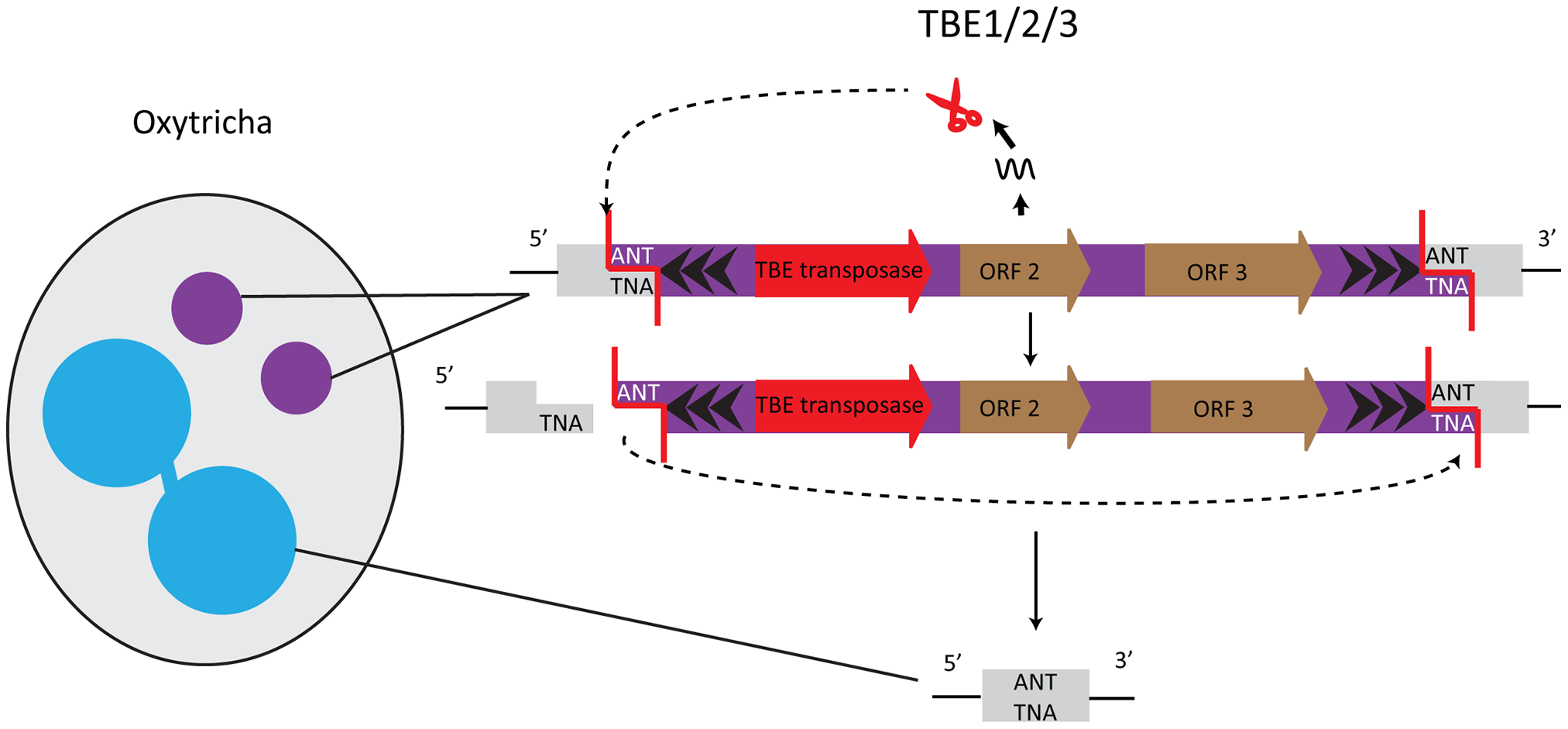 TBE transposases in Oxytricha are germline-limited sequences and they participate in their own removal.