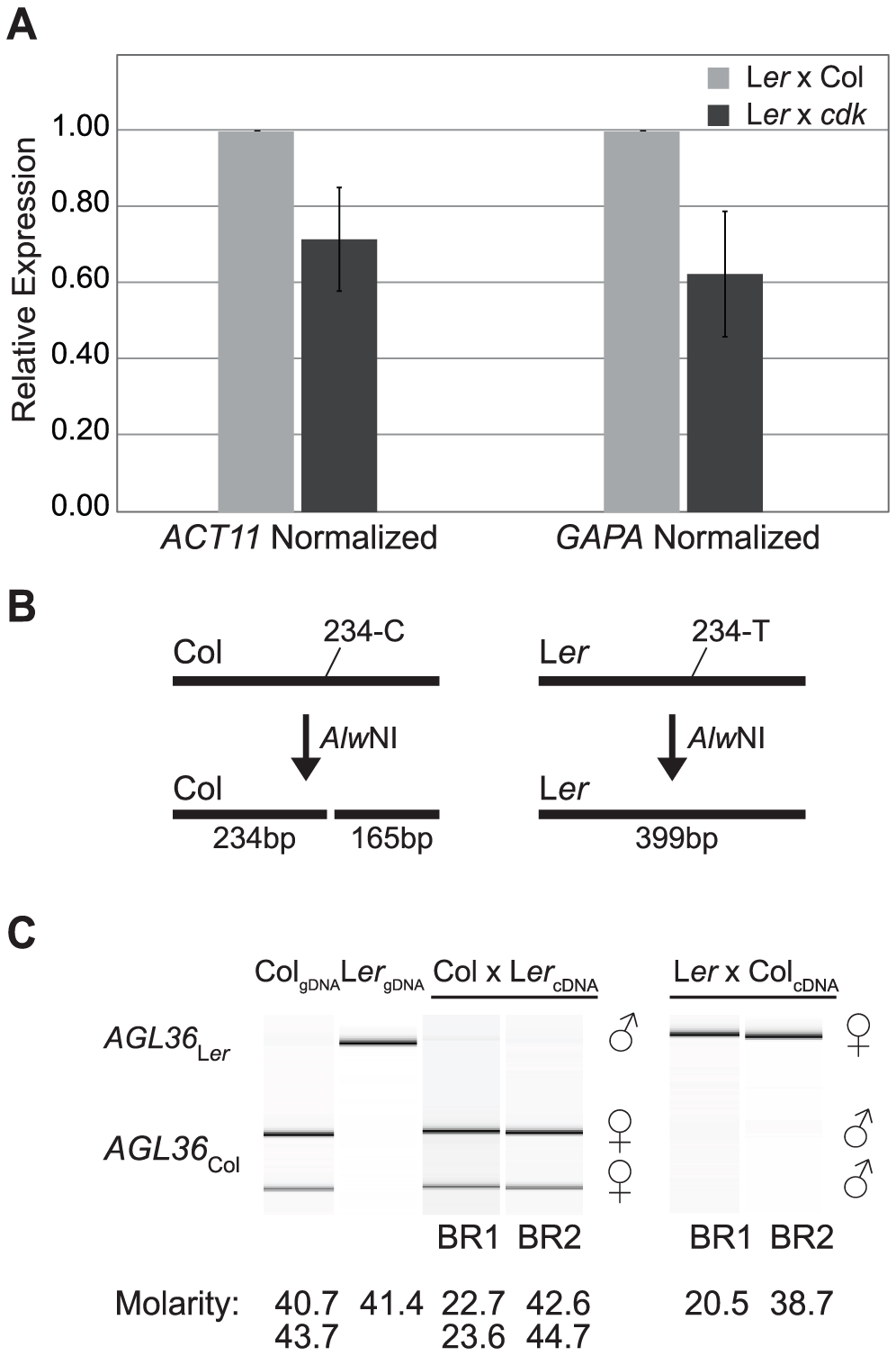 <i>AGL36</i> is only expressed from the maternal genome.