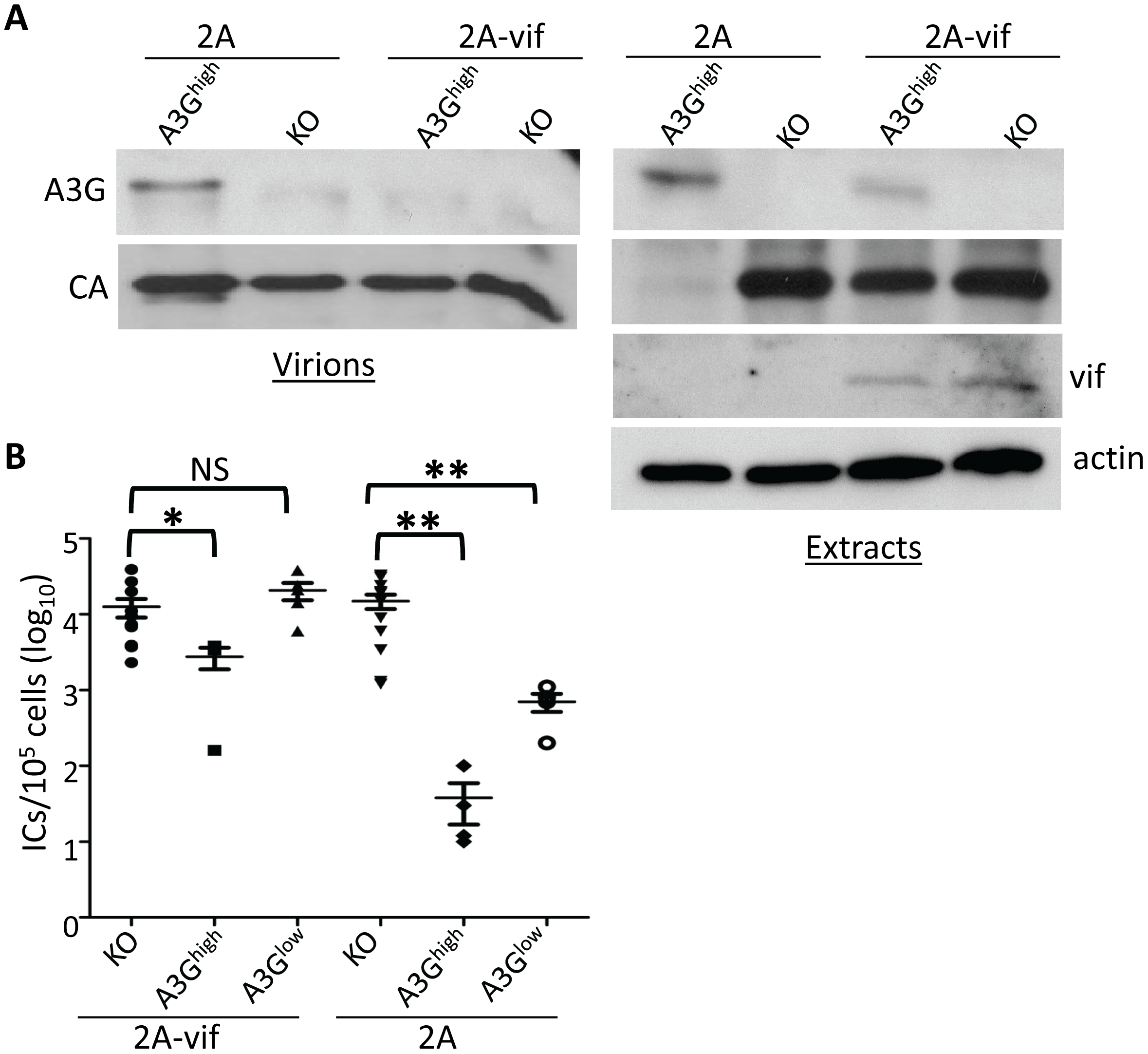 Vif counteracts A3G in transgenic mice.