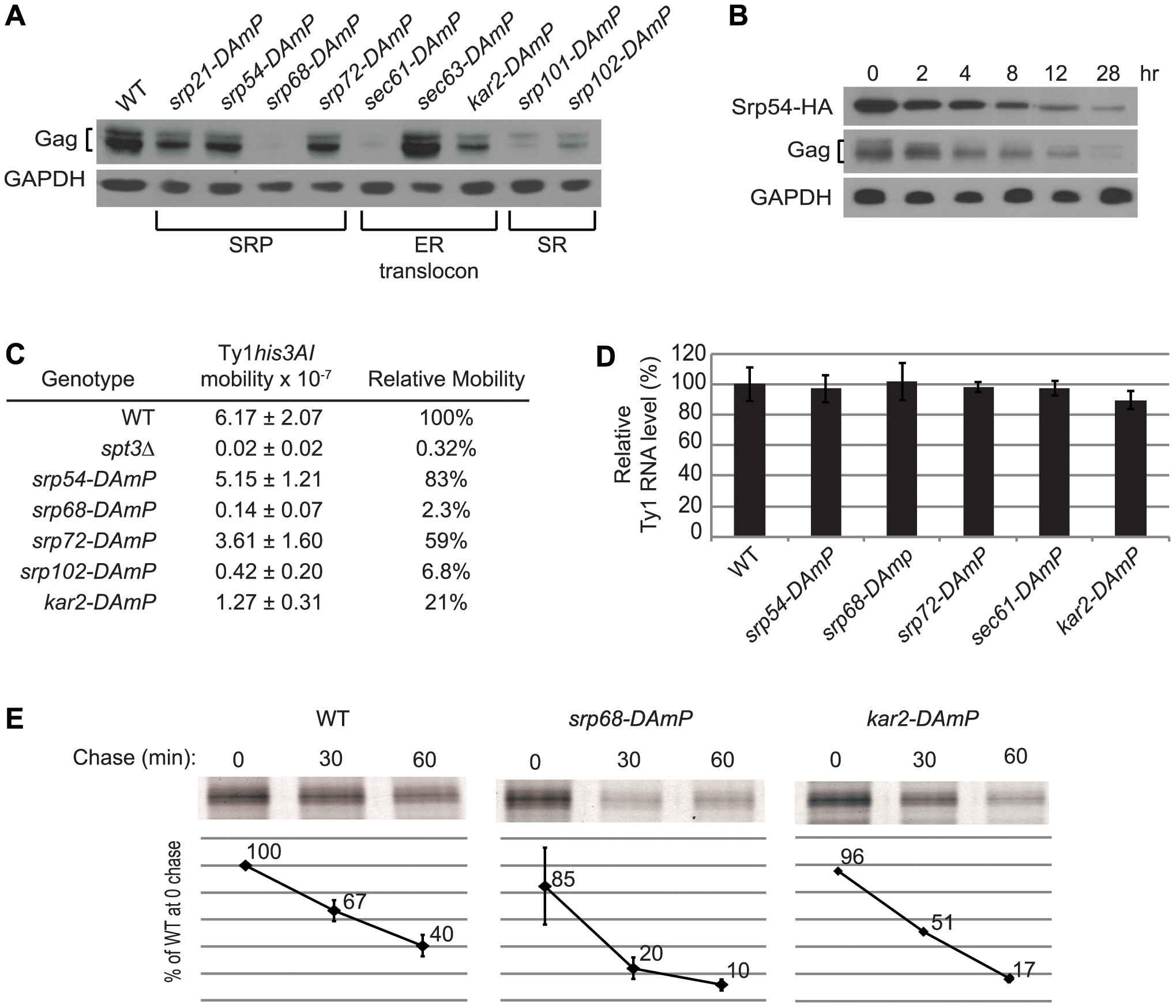 Co-translational ER translocation machinery is required for Ty1 Gag stability.