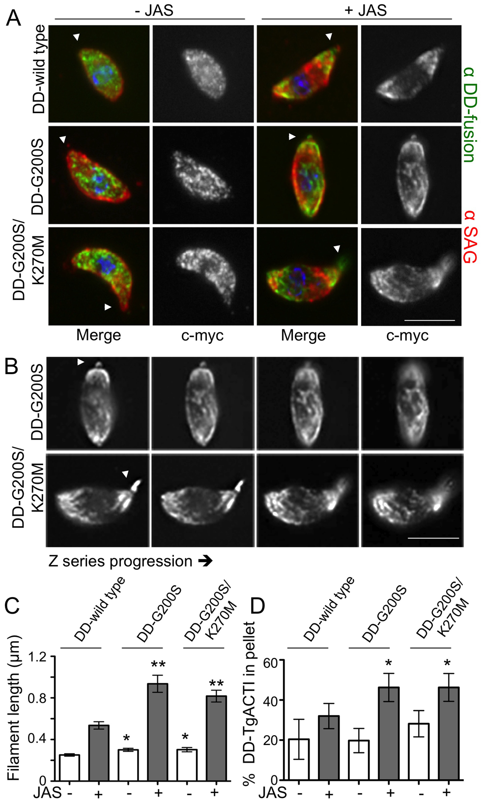 Stabilized actin alleles are more sensitive to JAS-stabilization than endogenous TgACTI in <i>Toxoplasma</i>.