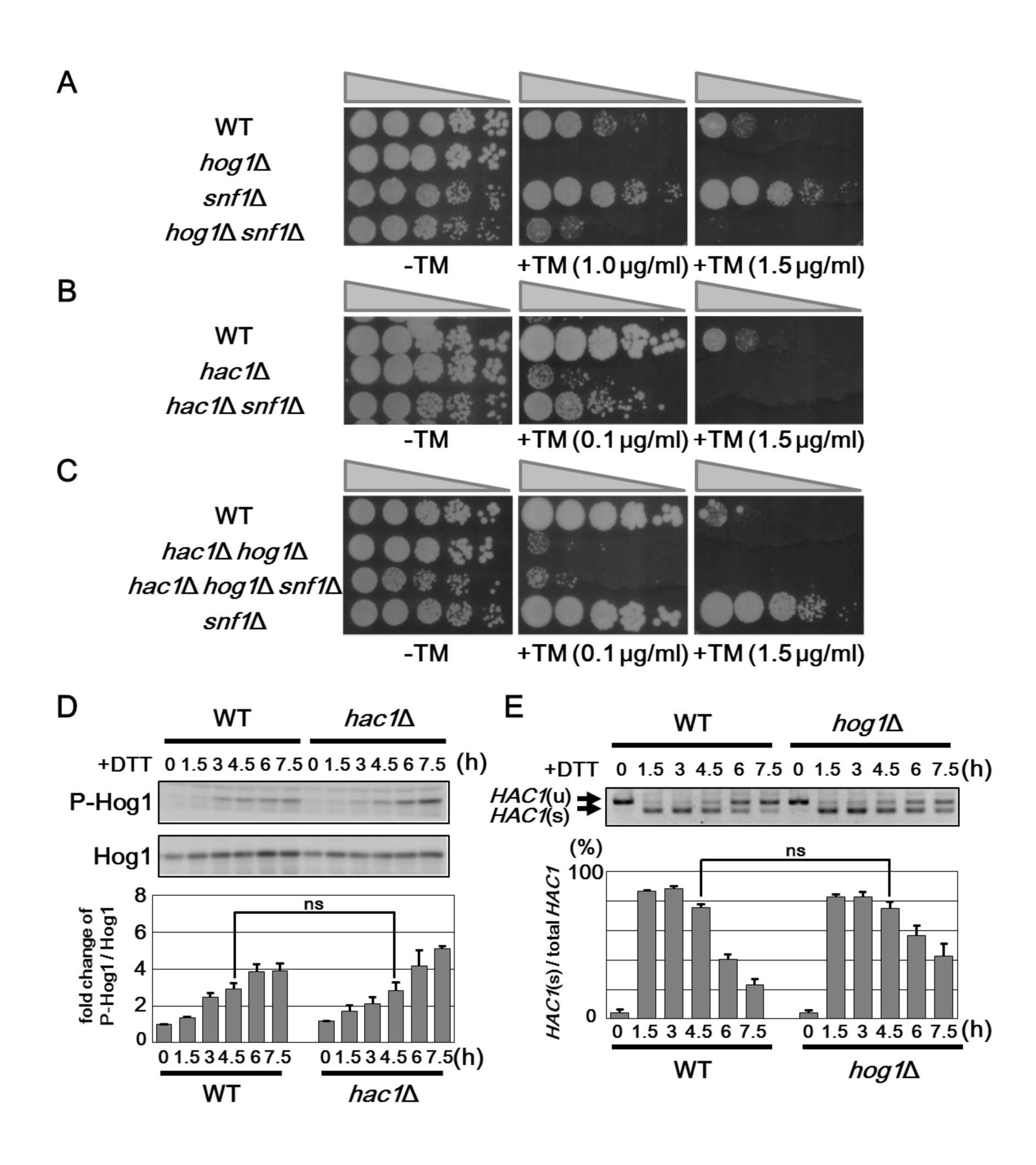 Snf1 regulates ER stress tolerance via Hog1 and UPR.