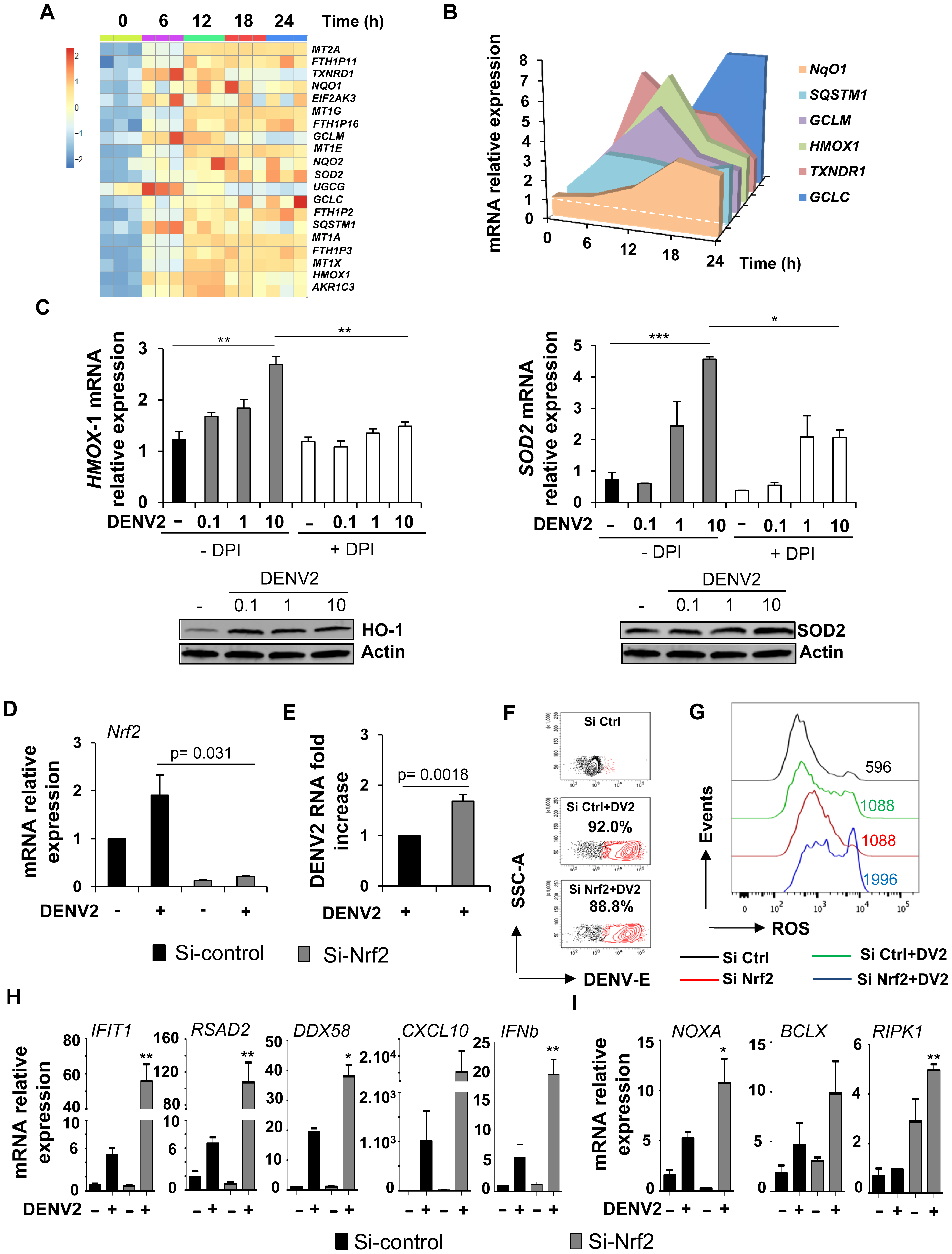 Nrf2 transcription factor limits DENV infection and modulates the innate immune and apoptotic responses.