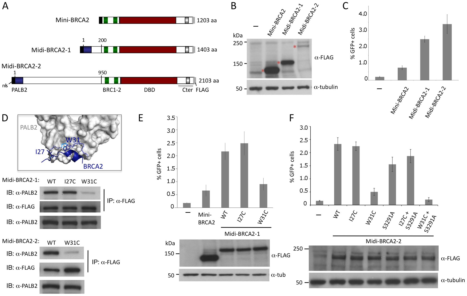 Midi-BRCA2s containing an intact PALB2 binding site restore HR levels.