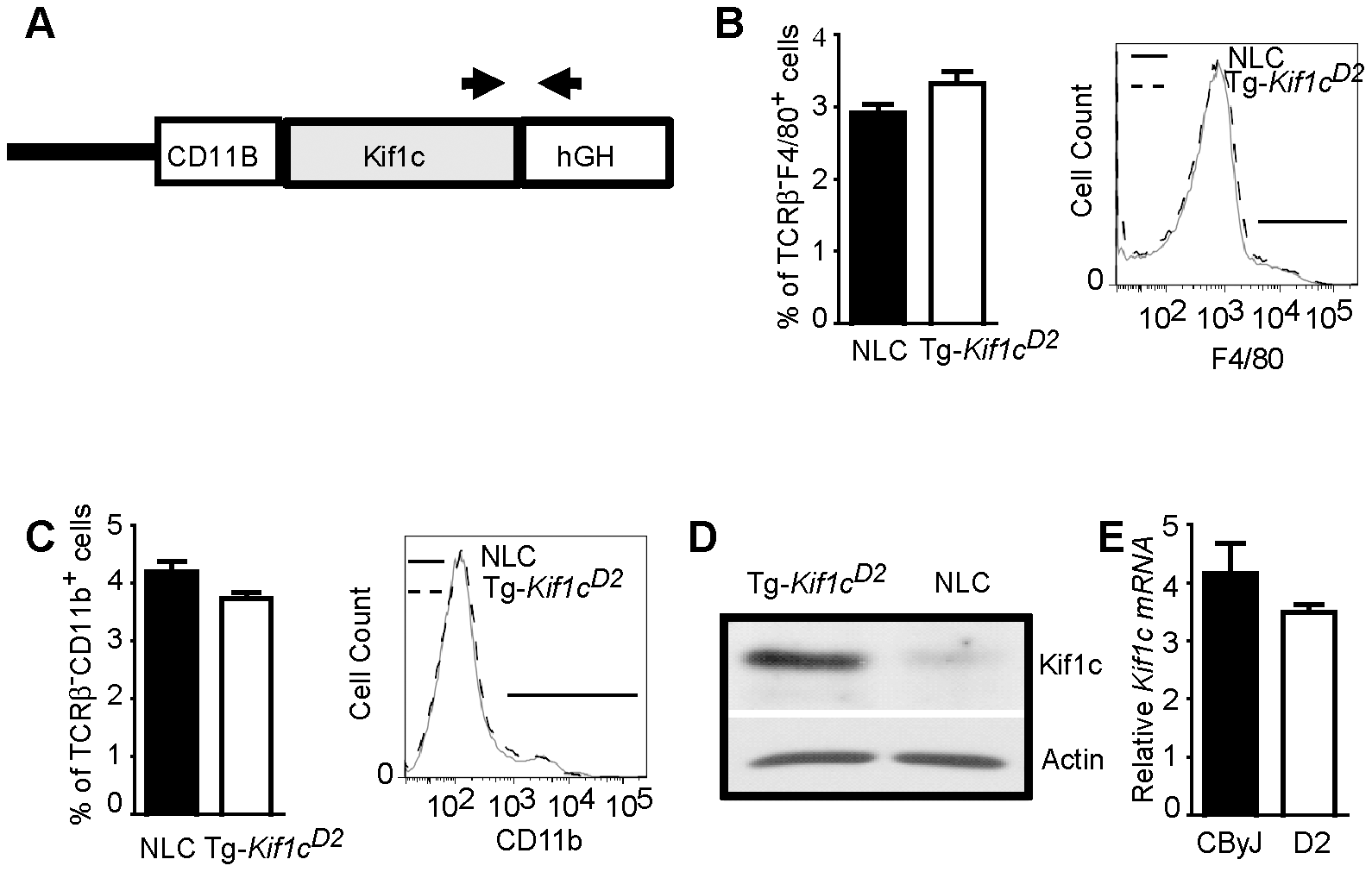 Generation of BALB/cByJ-<i>CD11B</i>-<i>Kif1c<sup>D2</sup></i> transgenic (Tg-<i>Kif1c<sup>D2</sup></i>) mice.