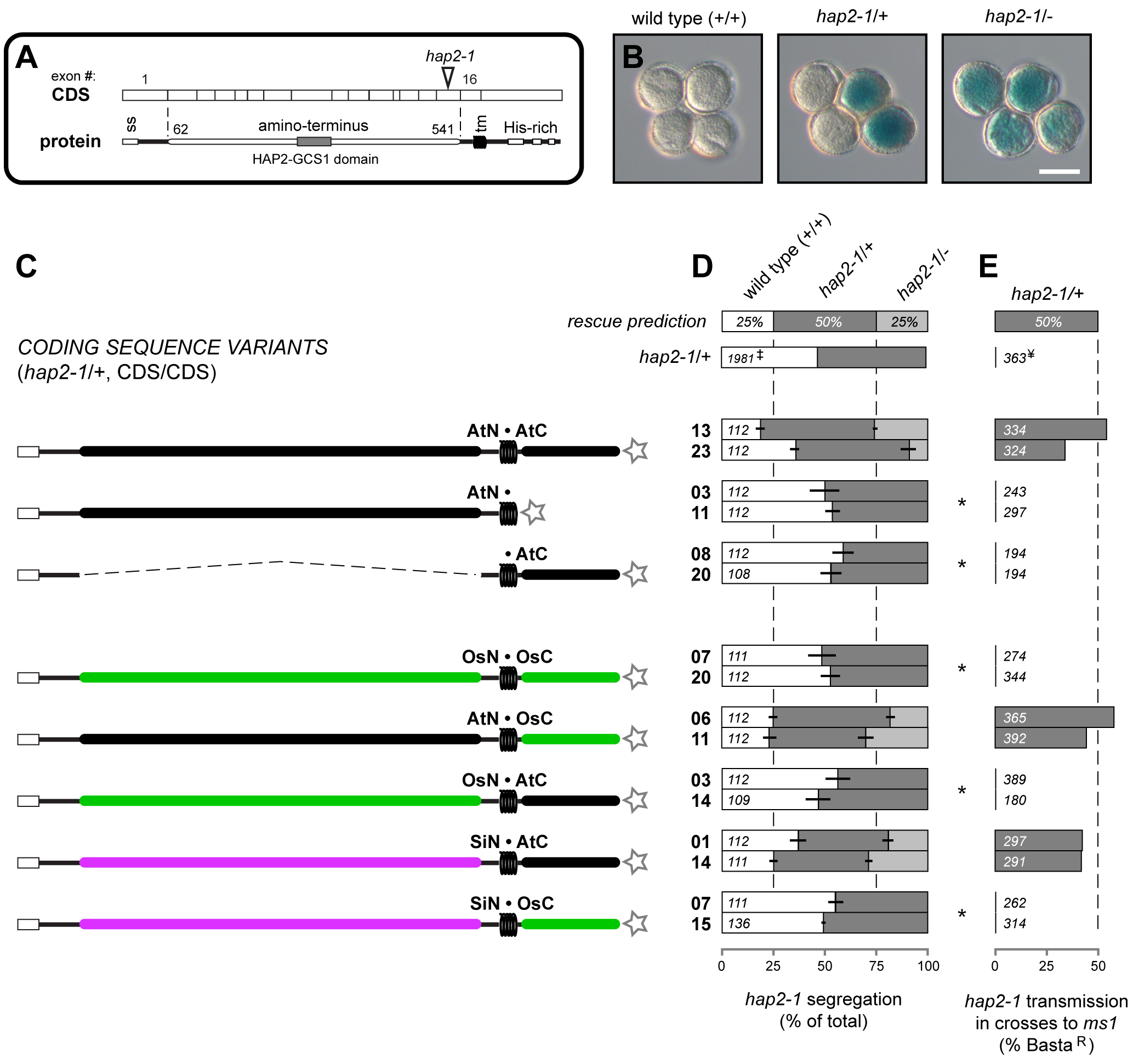 Analysis of <i>HAP2(GCS1)</i> deletions and interspecific chimeras.