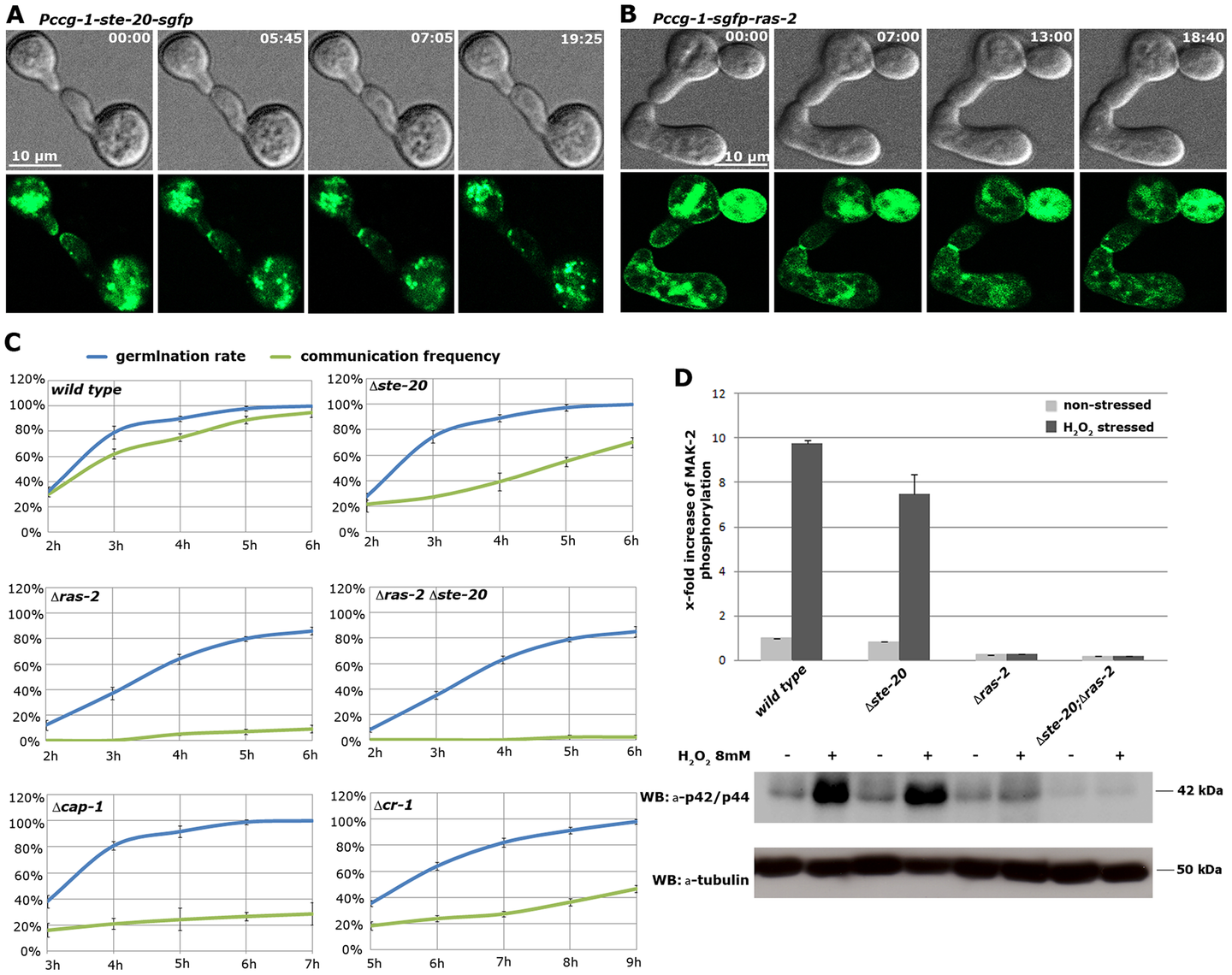 The MAK-2 pathway elements STE-20 and RAS-2 are important for cell-cell communication.