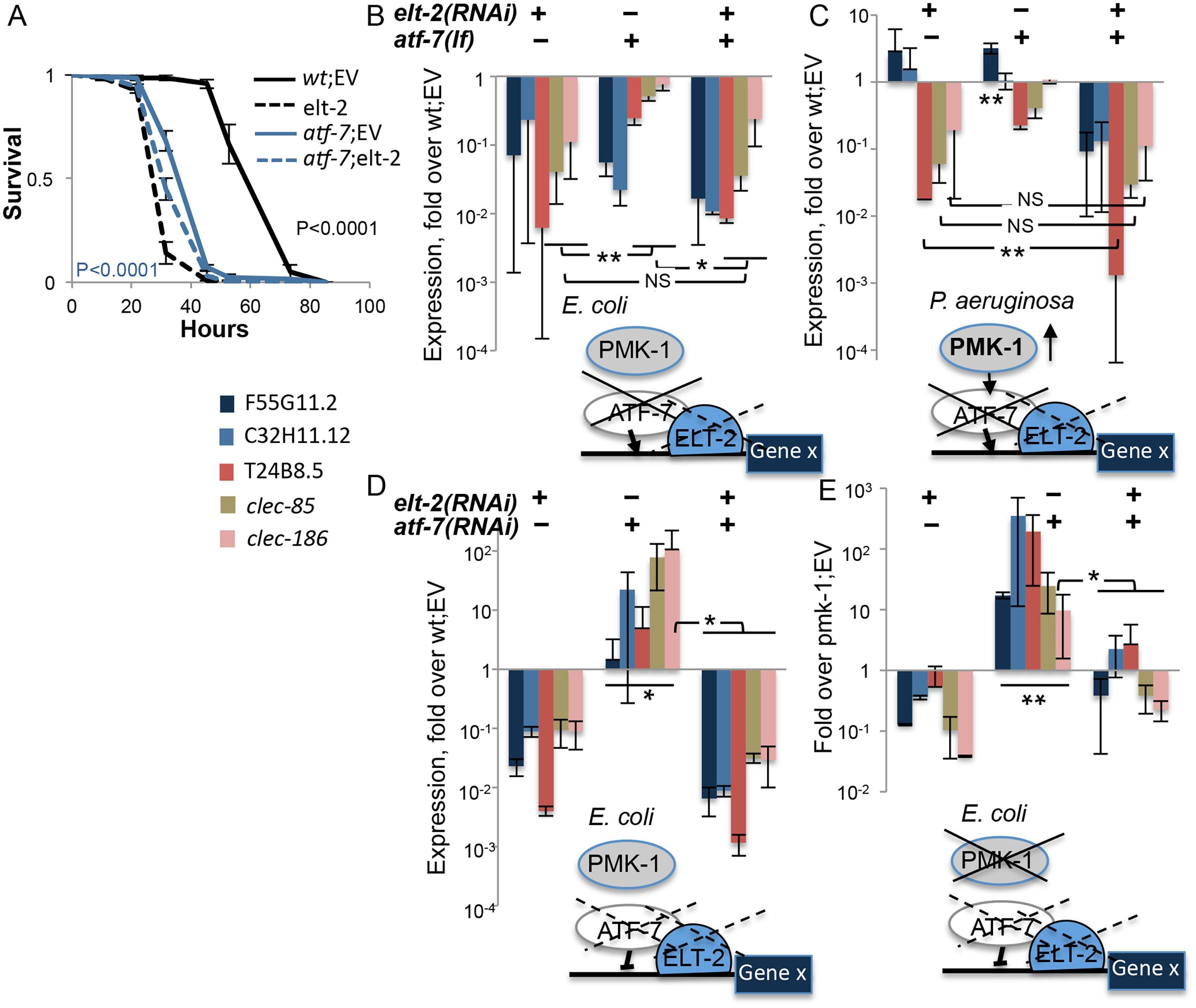 <i>elt-2</i> is essential for <i>atf-7</i>-dependent immune gene regulation.
