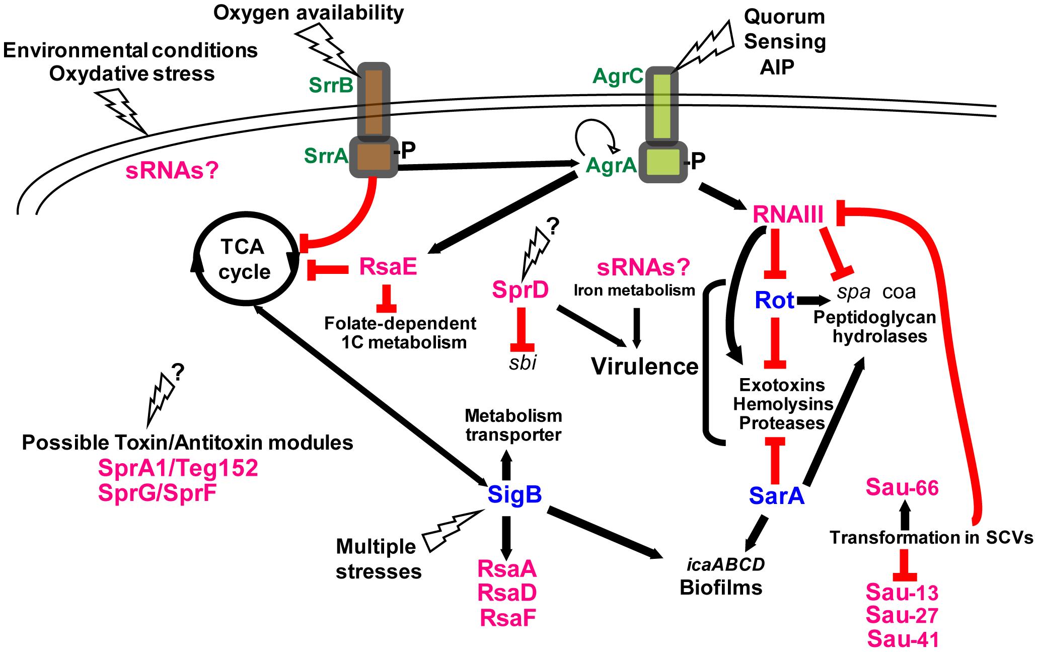 Integrating the <i>S. aureus</i> sRNAs into gene regulation cascades.