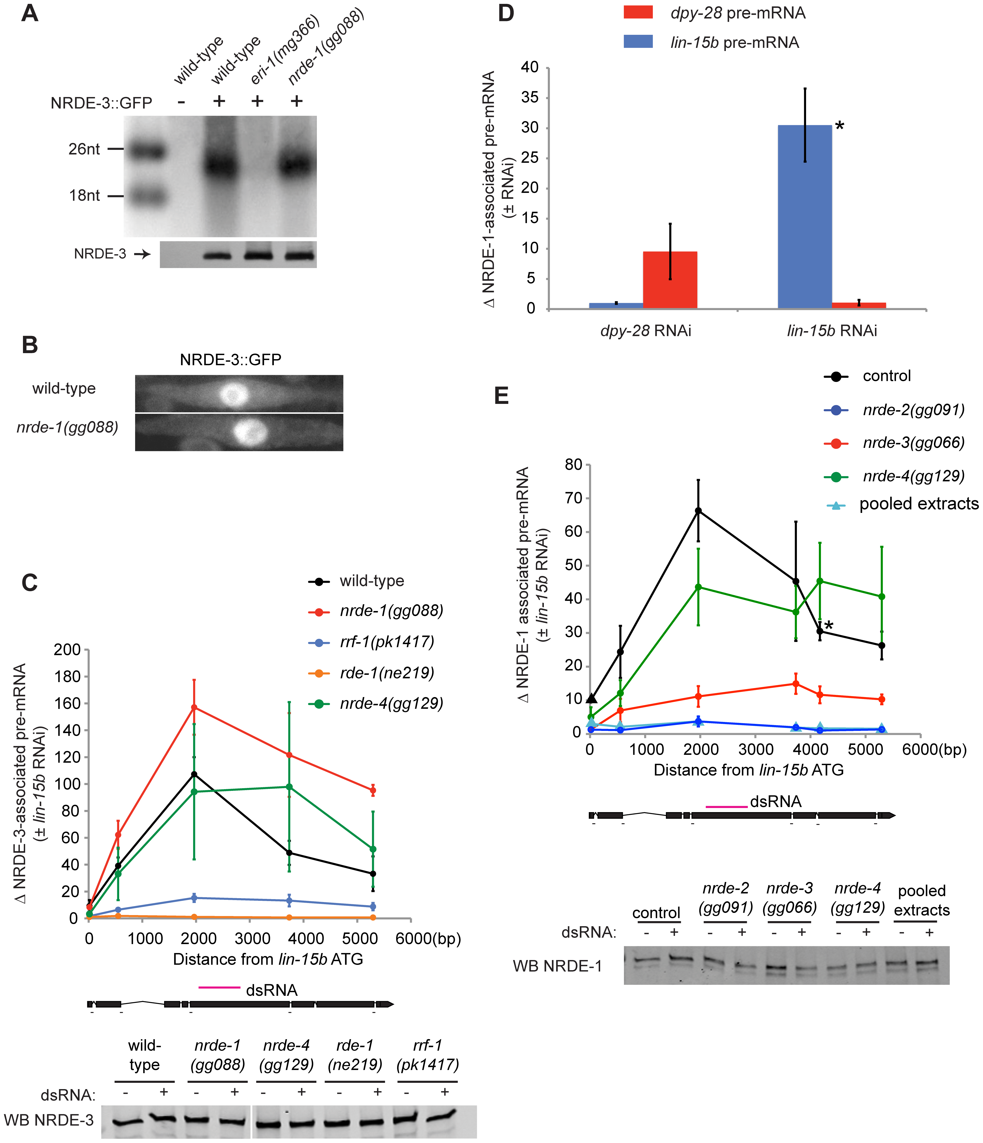 NRDE-1 is recruited by NRDE-2/-3 to pre-mRNAs that have been targeted by RNAi.