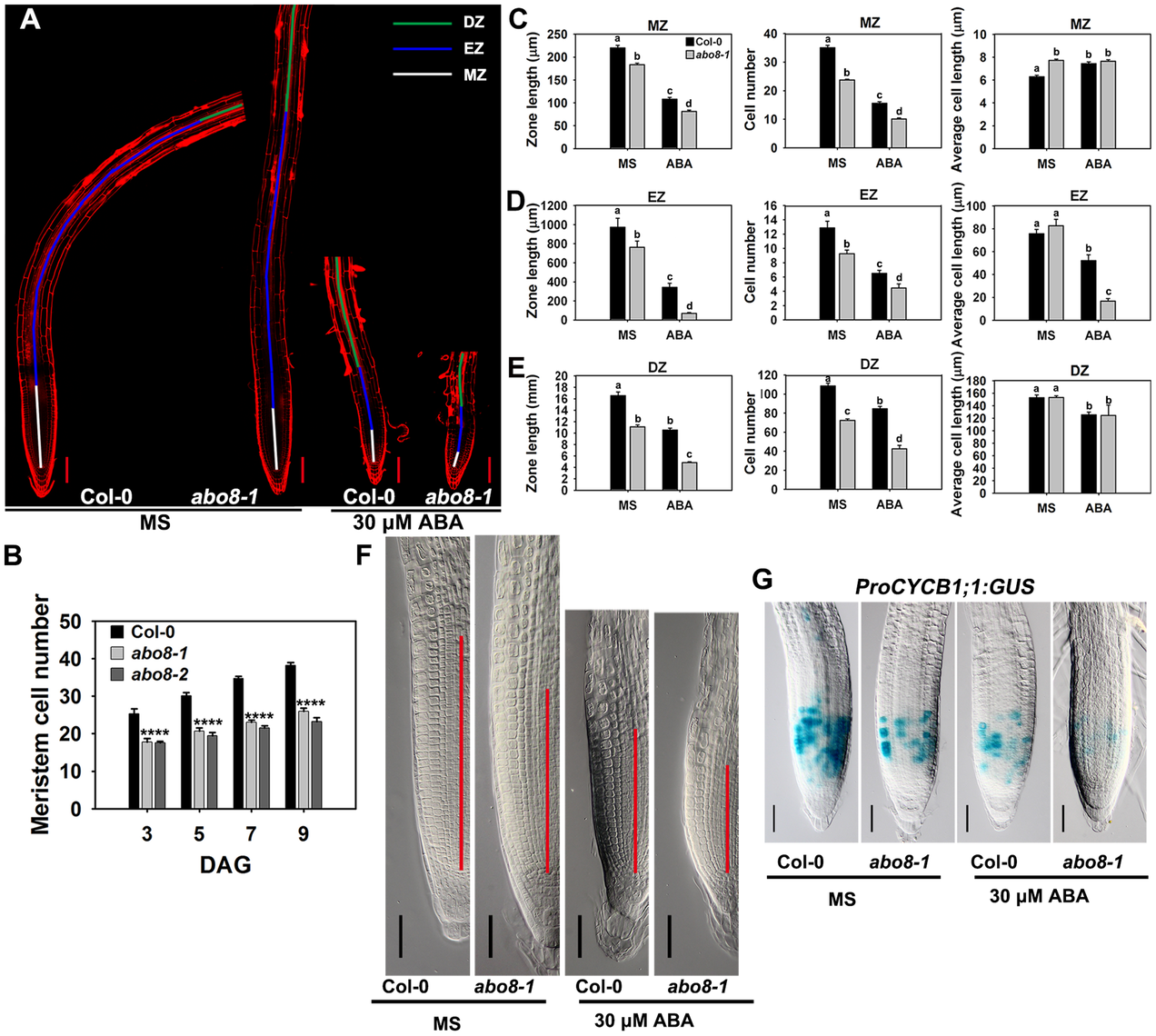 <i>abo8</i> mutation decreases the activity of the root meristem.