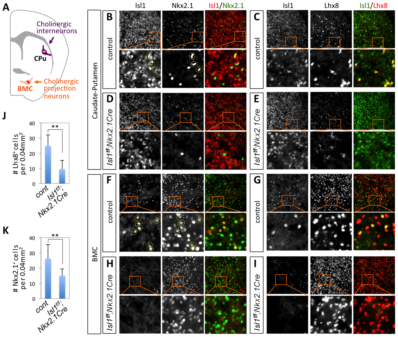 Isl1 is co-expressed with Nkx2.1 and Lhx8 in the CPu and BMC and is important for the formation of Nkx2.1/Lhx8-expressing striatal interneurons.
