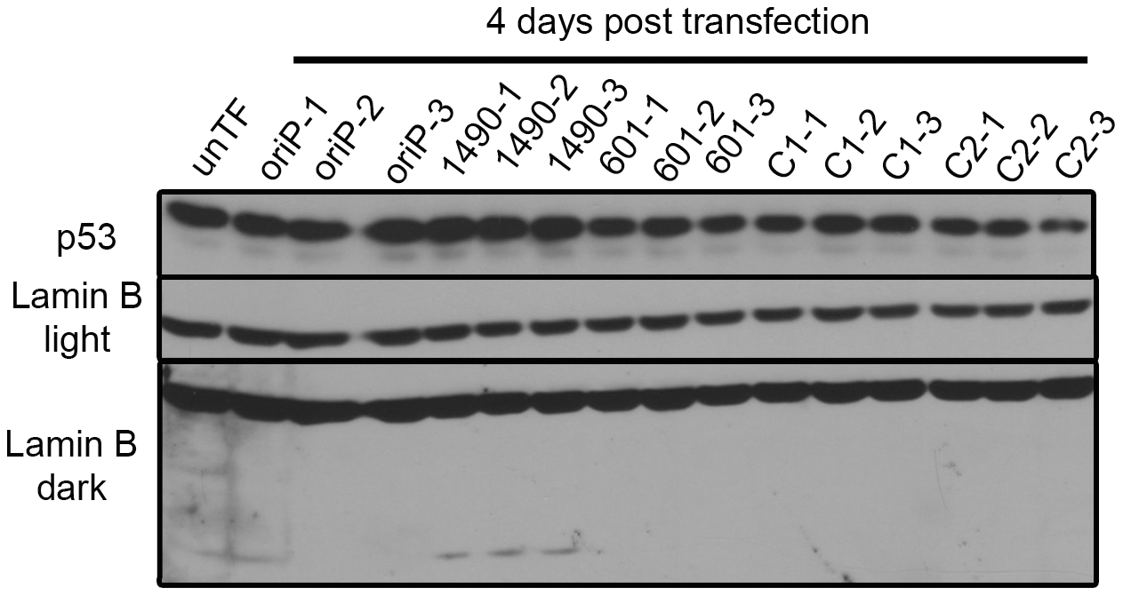 p53 expression is not modulated by EBNA-3A.