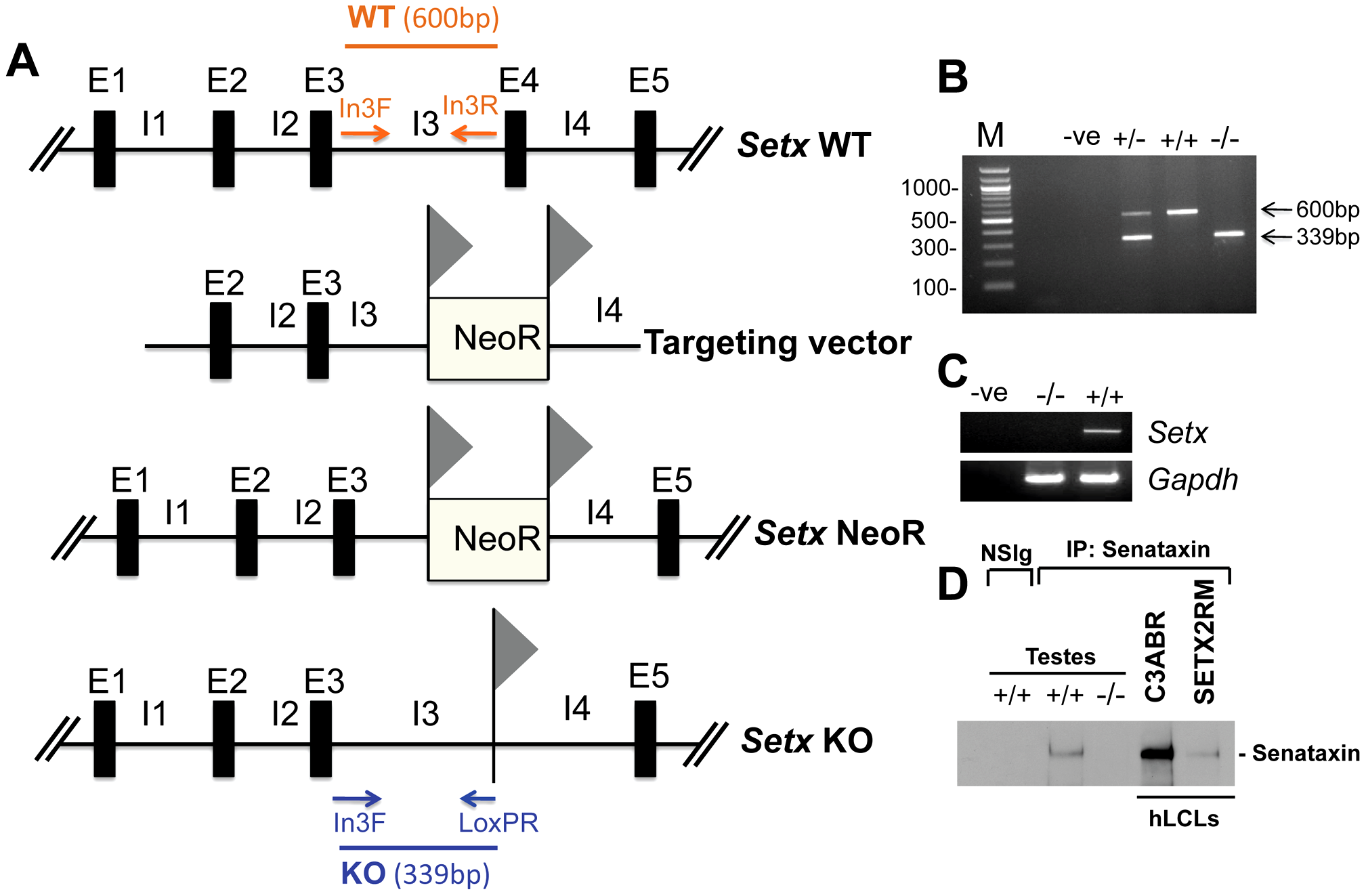 Targeted disruption of the mouse <i>Setx</i> gene.