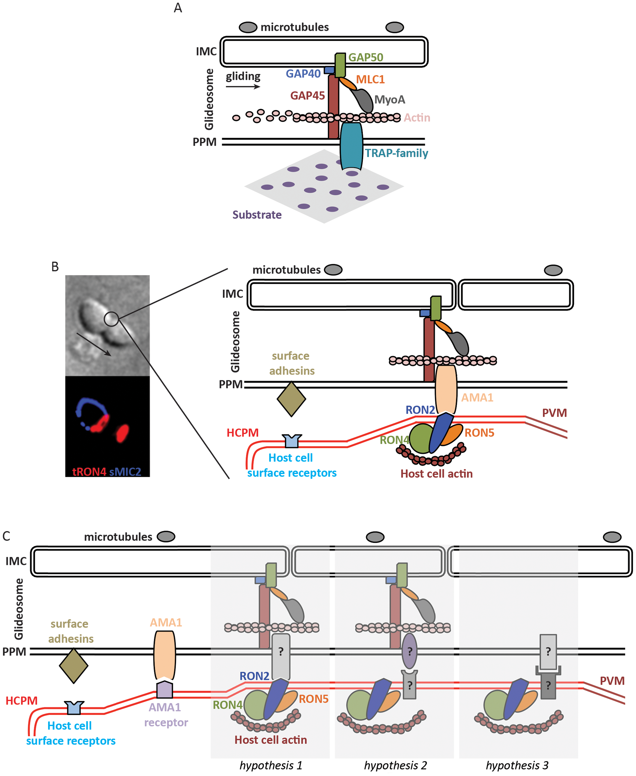 Molecular models of apicomplexan gliding and invasion.