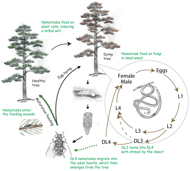 The life cycle of the pine wood nematode <i>Bursaphelenchus xylophilus</i>.