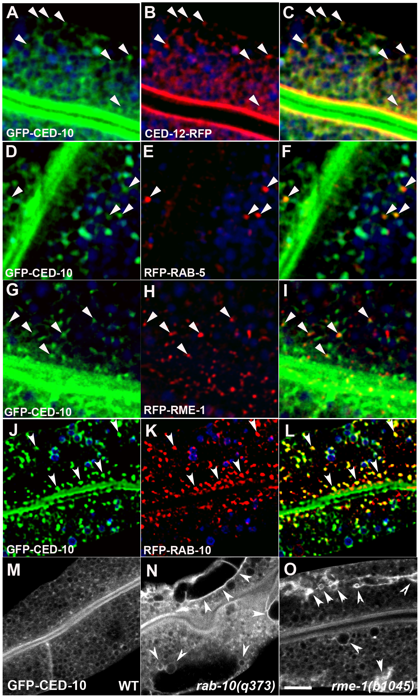 CED-10 localizes to early and recycling endosomes, and colocalizes with CED-12, in the intestine.