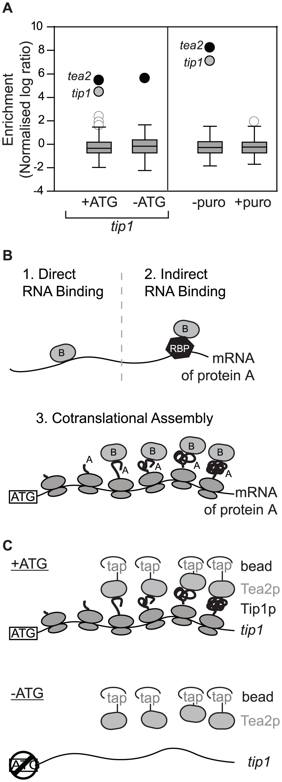 Cotranslational assembly of the Tea2p-Tip1p complex.
