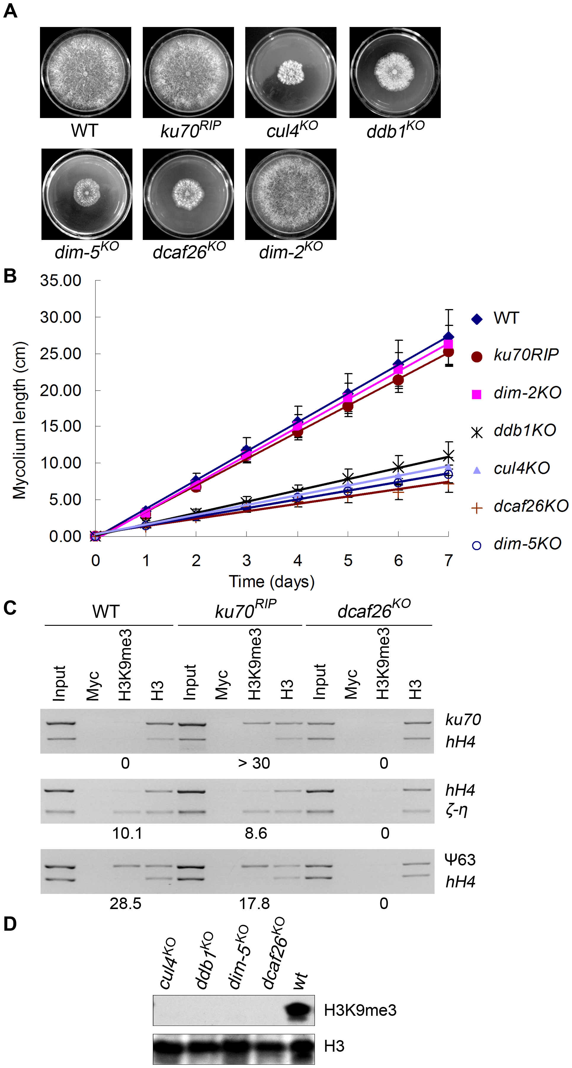 DCAF26 is essential for histone H3K9 trimethylation.