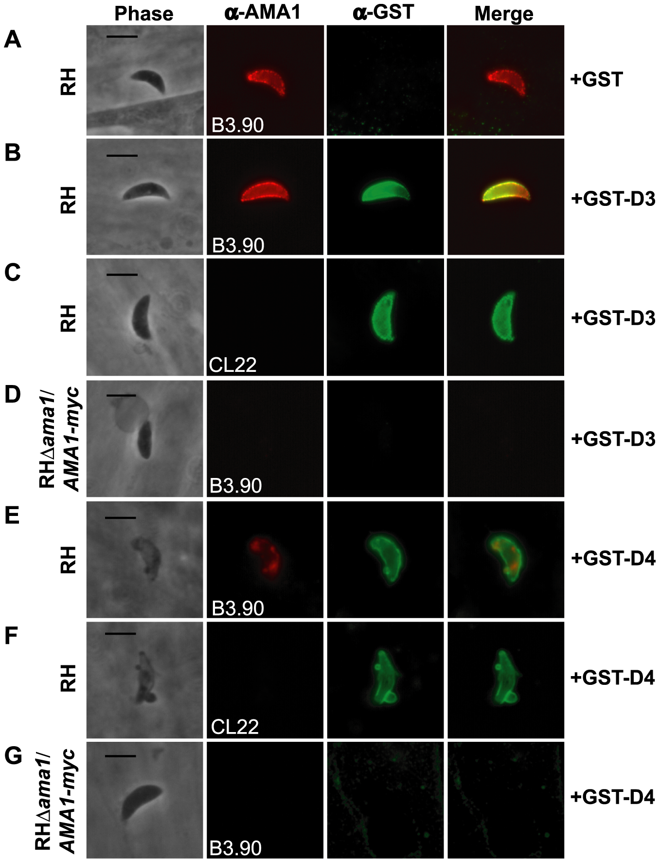 TgRON2 fusions GST-D3 and GST-D4 bind to TgAMA1 on the surface of parasites.