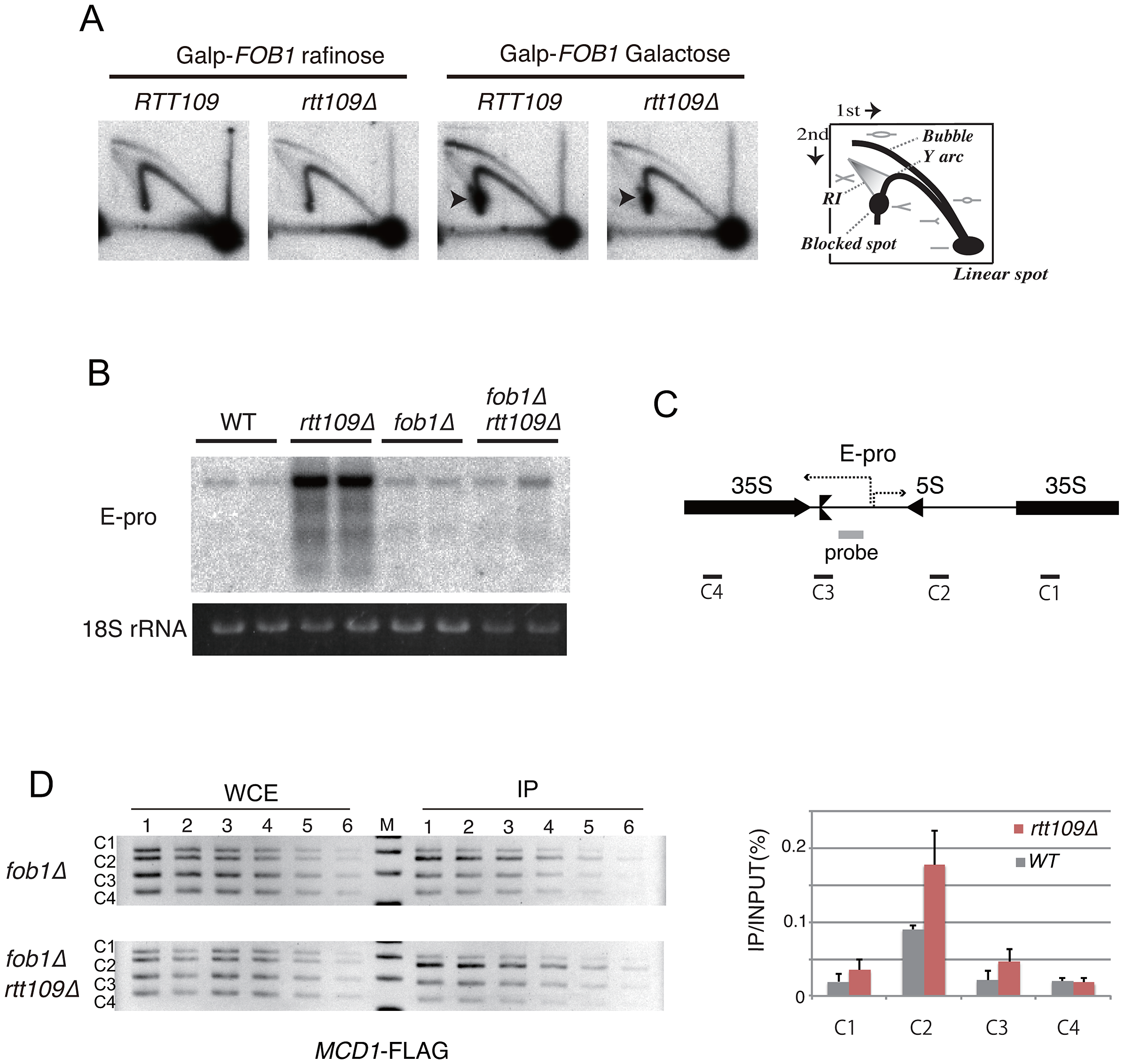 Replication fork stability at RFB, non-coding RNA from IGS and cohesin association in <i>rtt109</i> mutant.