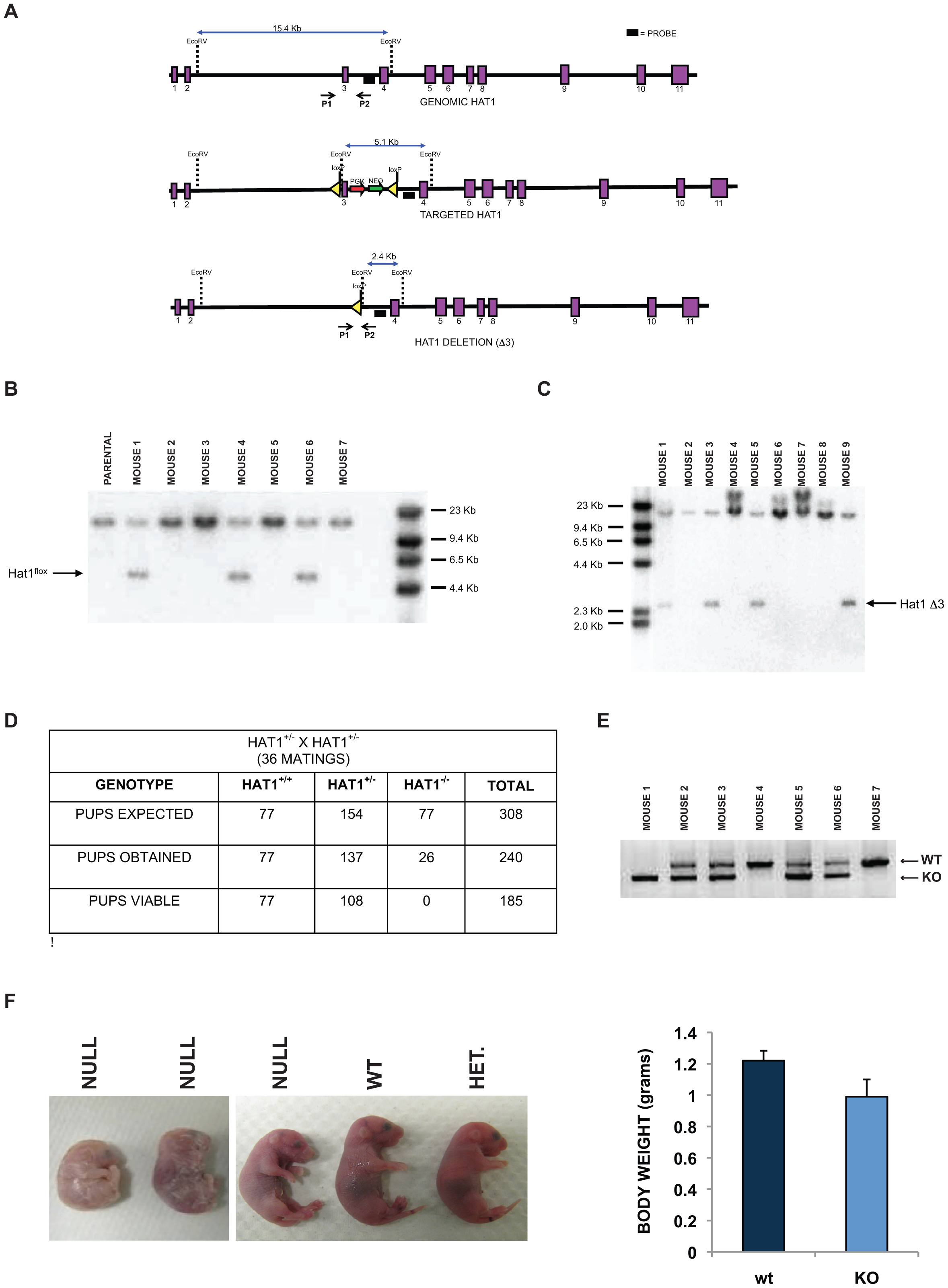 Histone acetyltransferase 1 is essential for viability in mice.