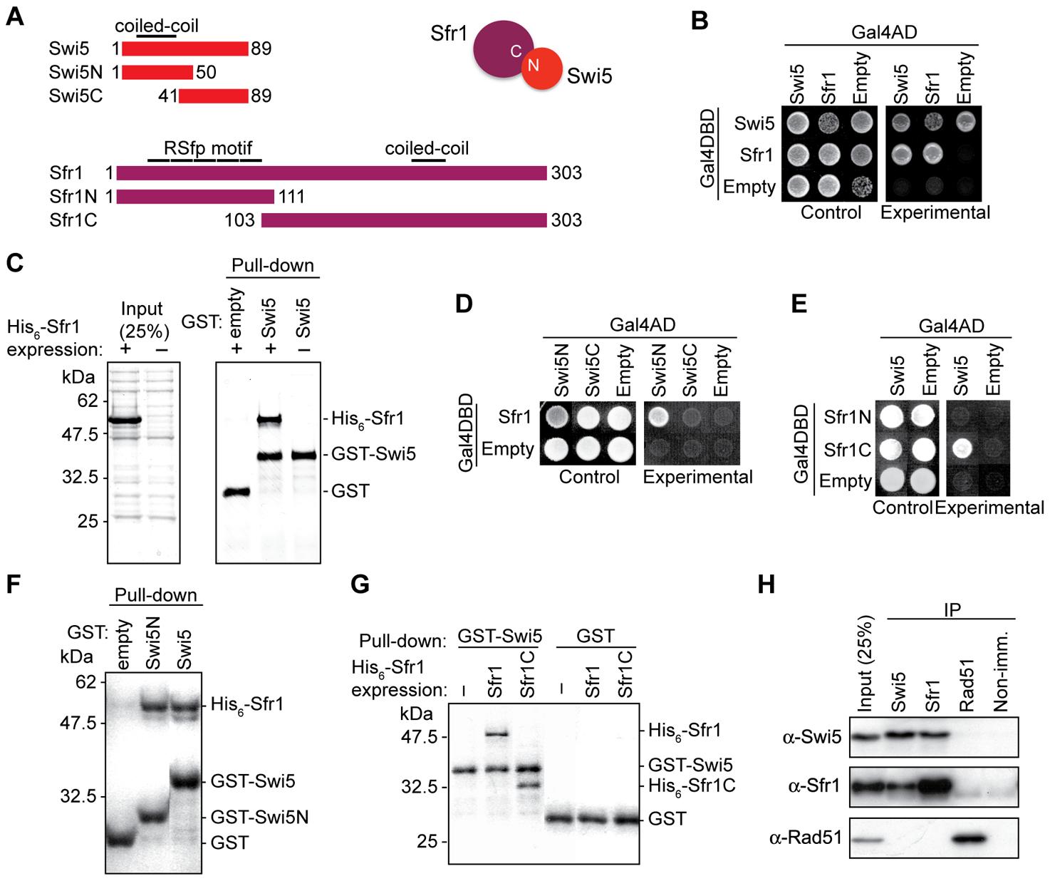 Mouse Swi5 and Sfr1 interact <i>in vivo</i> and <i>in vitro</i>.
