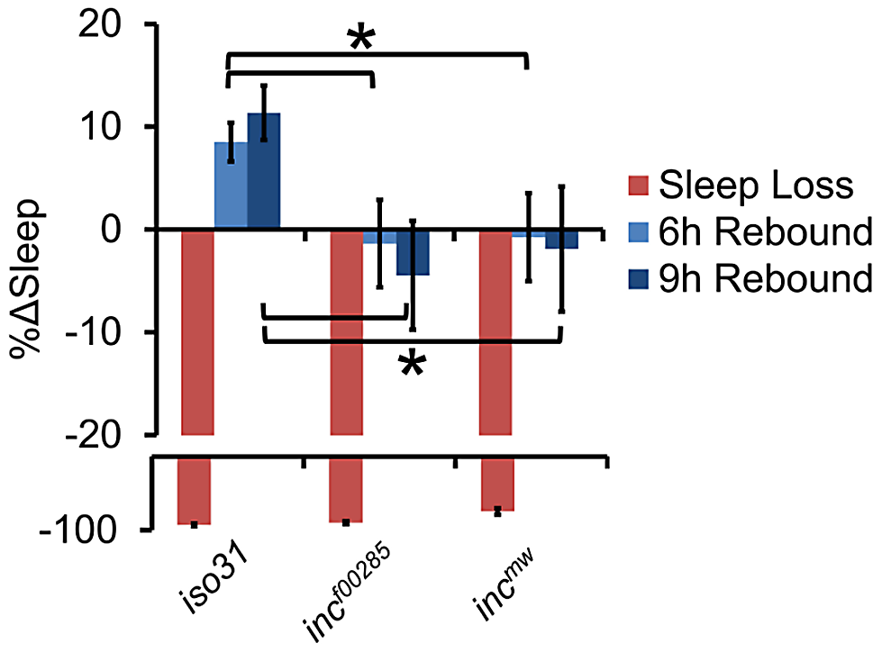 Flies lacking <i>inc</i> exhibit reduced behavioral sleep homeostasis.