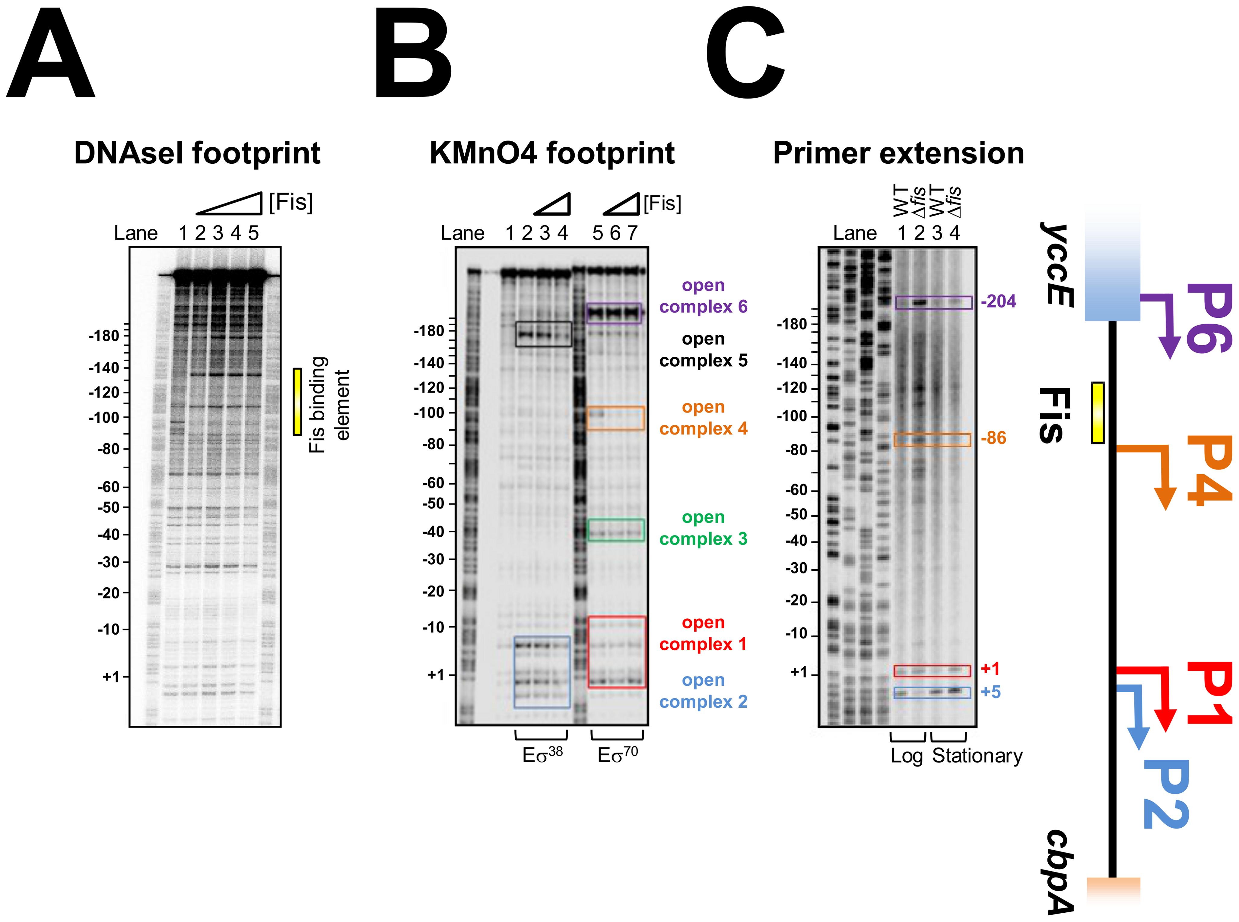 Location of Fis, RNA polymerase, and transcription start sites at the <i>cbpA</i> regulatory region.
