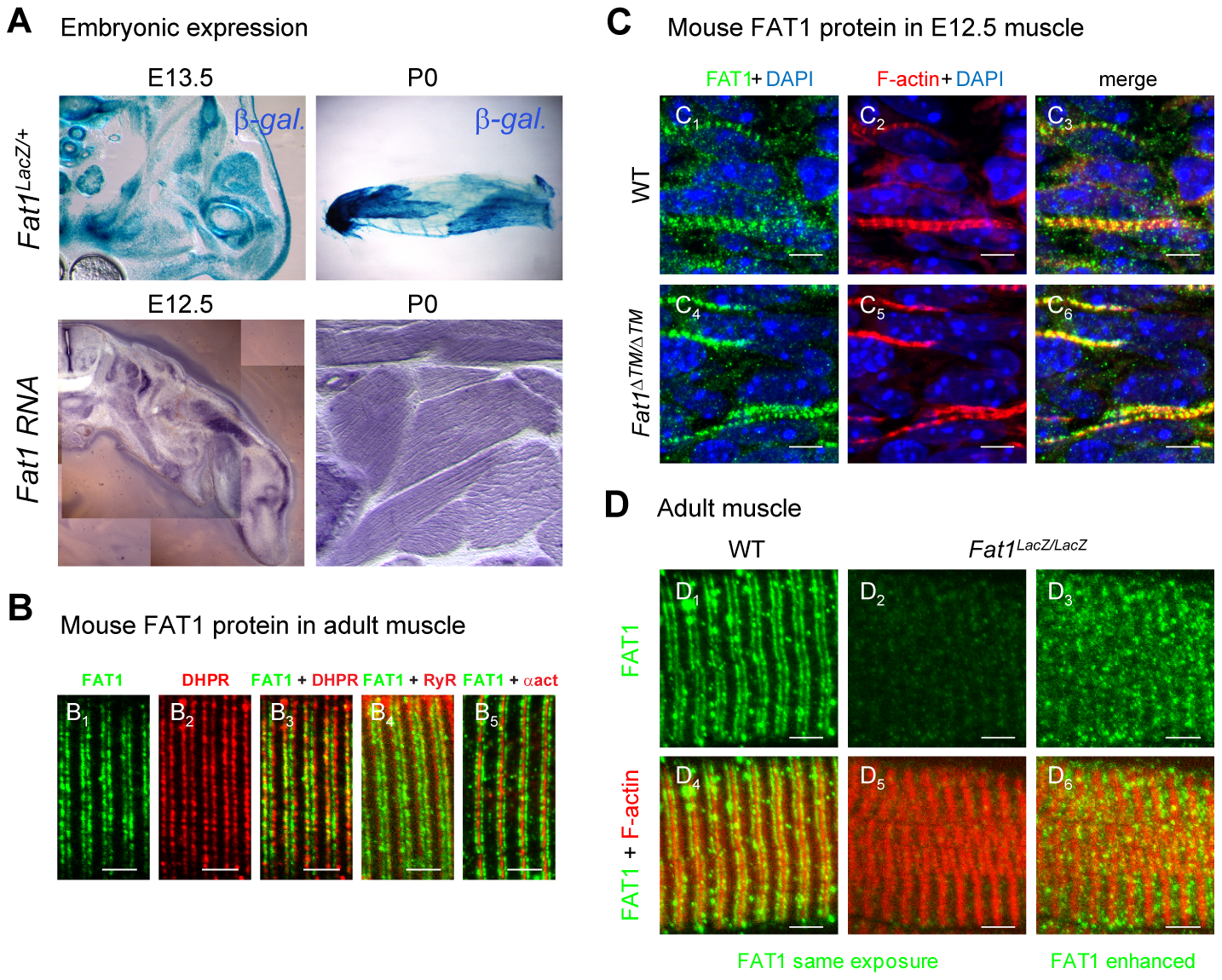 <i>Fat1</i> expression at late stages of muscle differentiation.