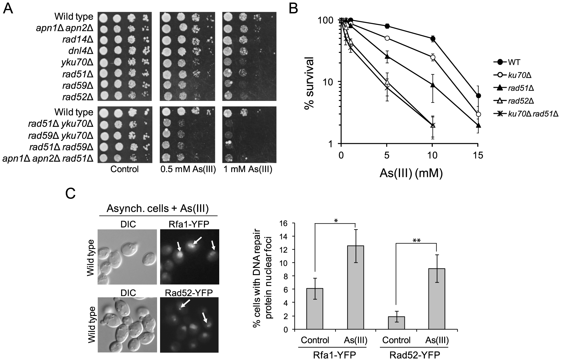 The role of DNA repair pathways in tolerance to As(III) in budding yeast.