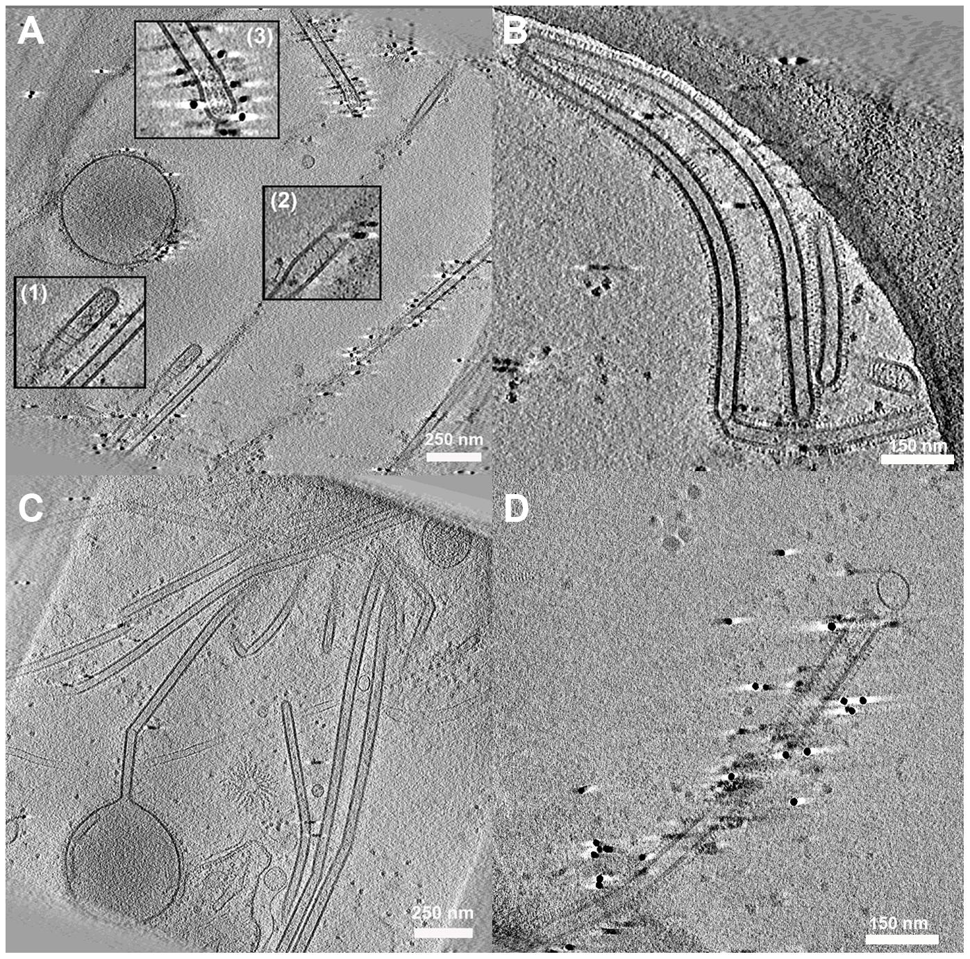 Cell associated long filamentous structures.