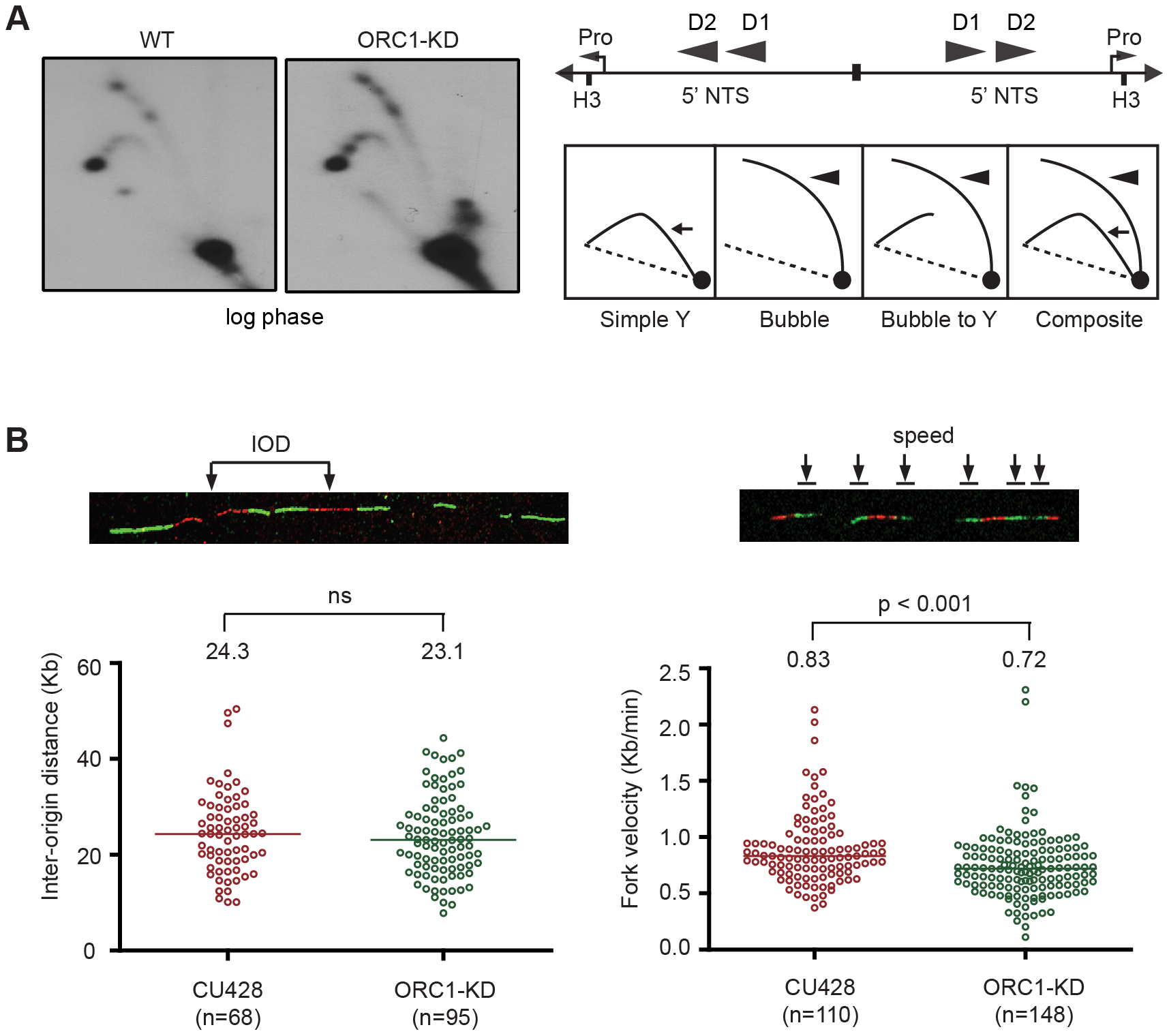 Altered cell cycle distribution and replication fork progression in ORC1 knockdown cells.