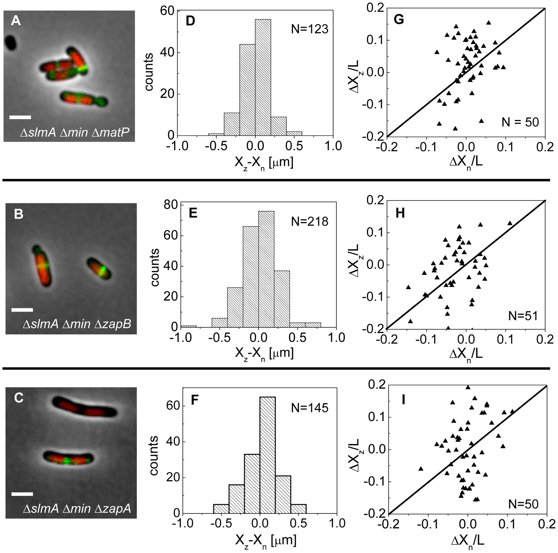 Positioning of the Z-rings relative to the cell and nucleoid centers in triple deletion strains.