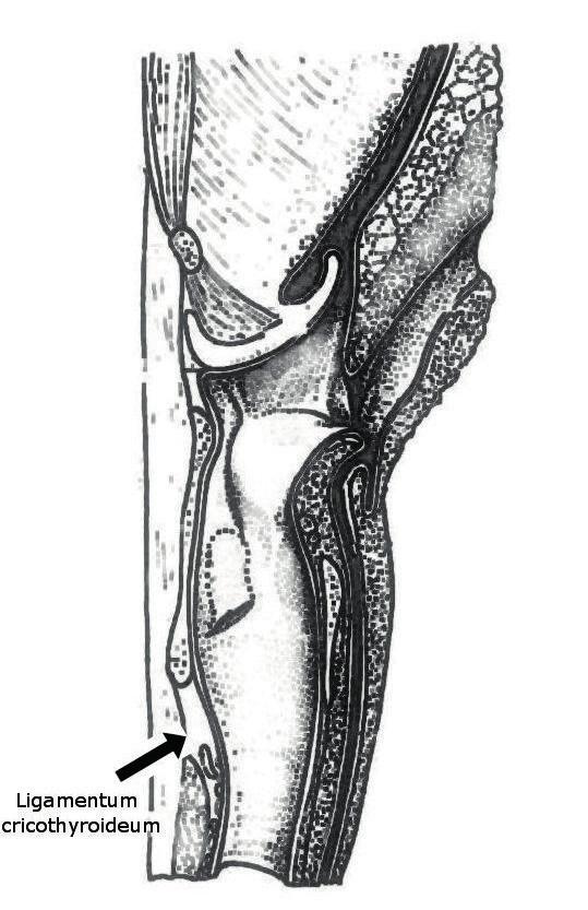 Obr. 1a, b Anatomie prasečího hrtanu – frontální a laterální pohled