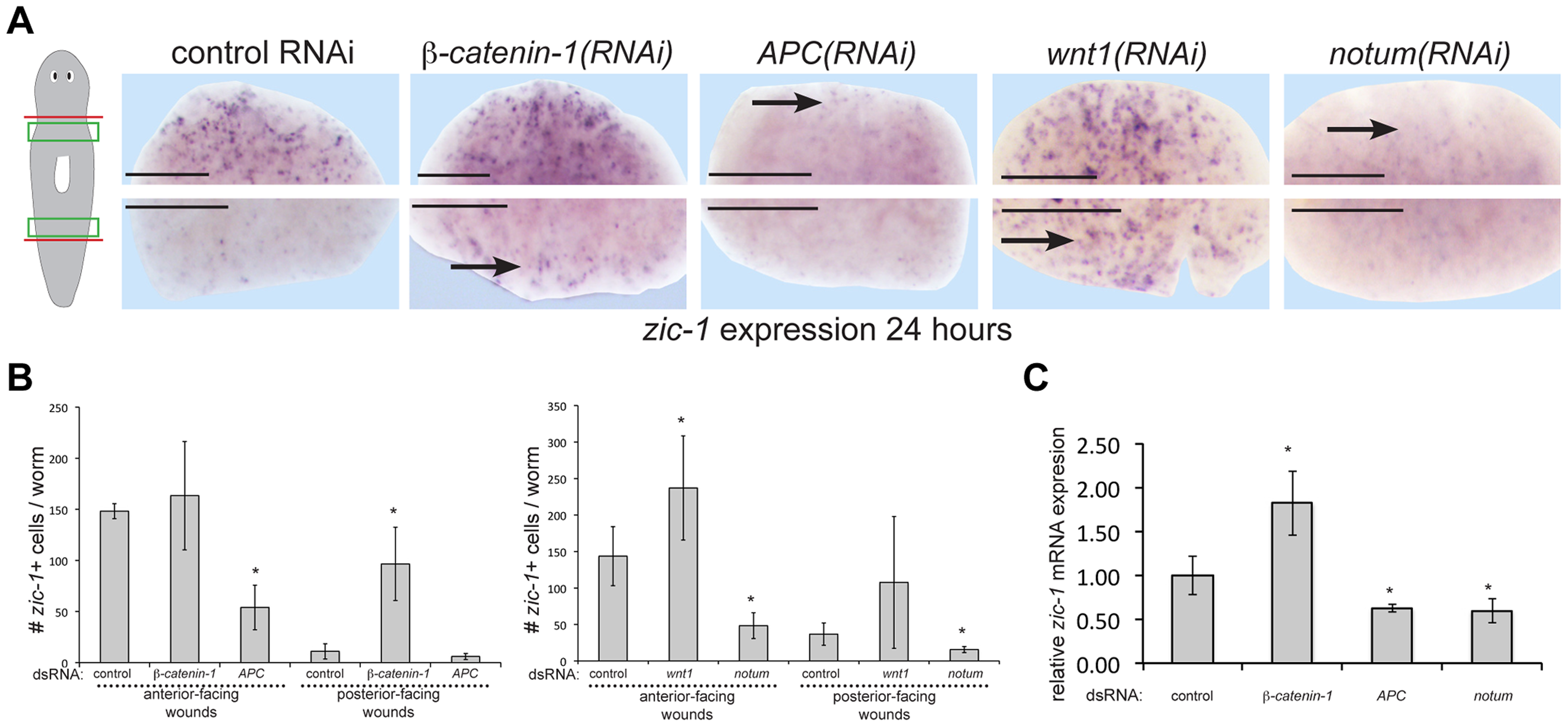 Polarized expression of <i>zic-1</i> early after injury is controlled by <i>notum</i>'s inhibition of canonical Wnt signaling.
