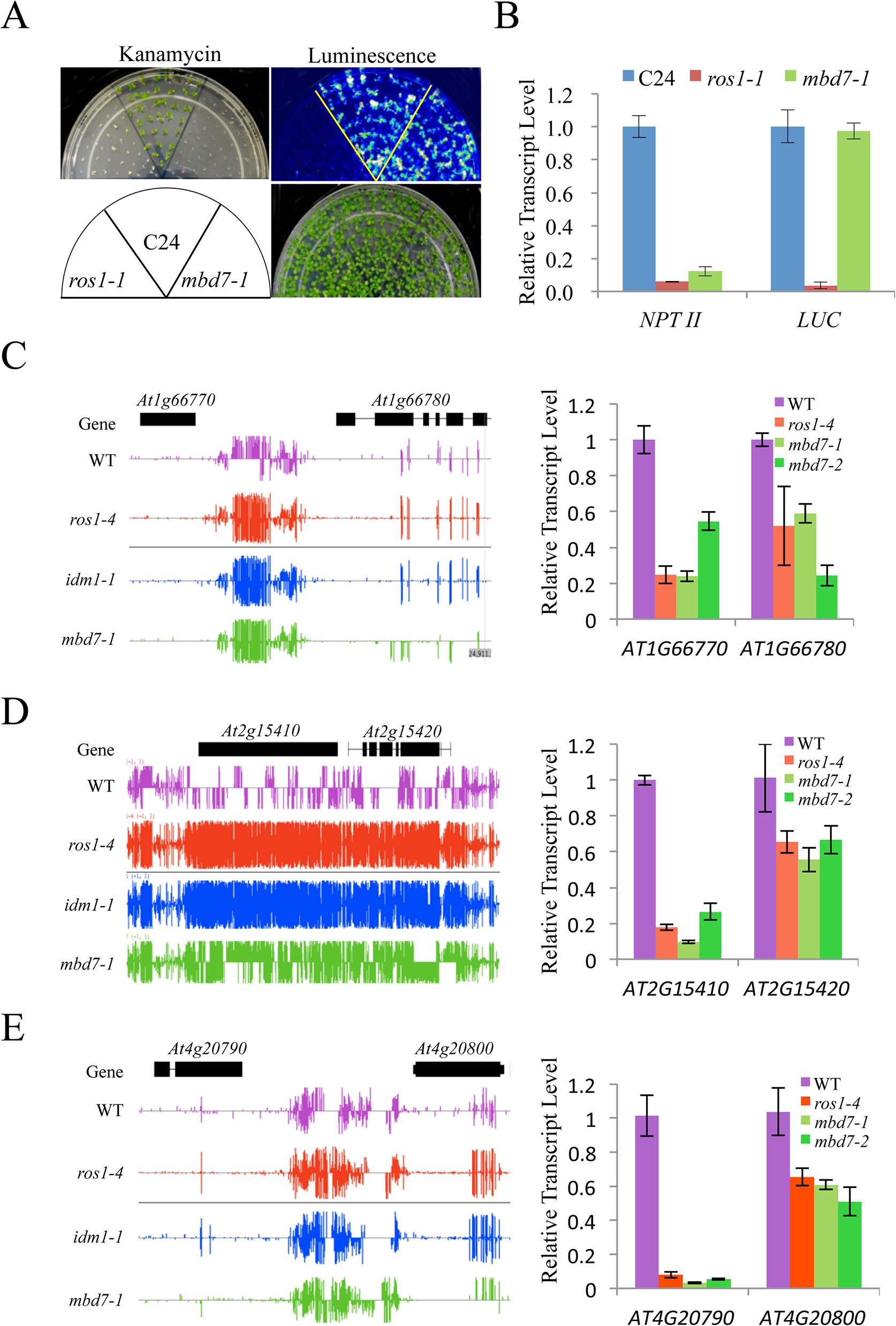 MBD7 prevents the silencing of a report gene and some endogenous genes.