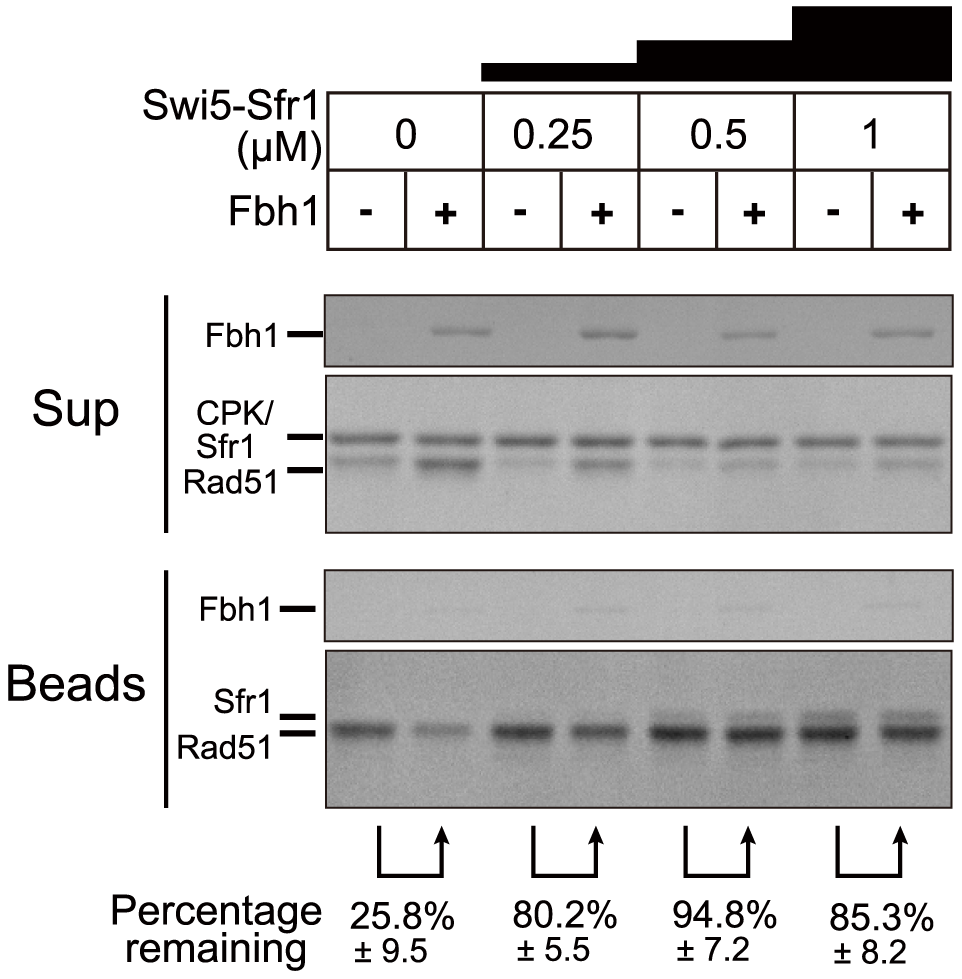 The Swi5-Sfr1 activator complex blocks the Fbh1-mediated Rad51 dissociation from ssDNA.