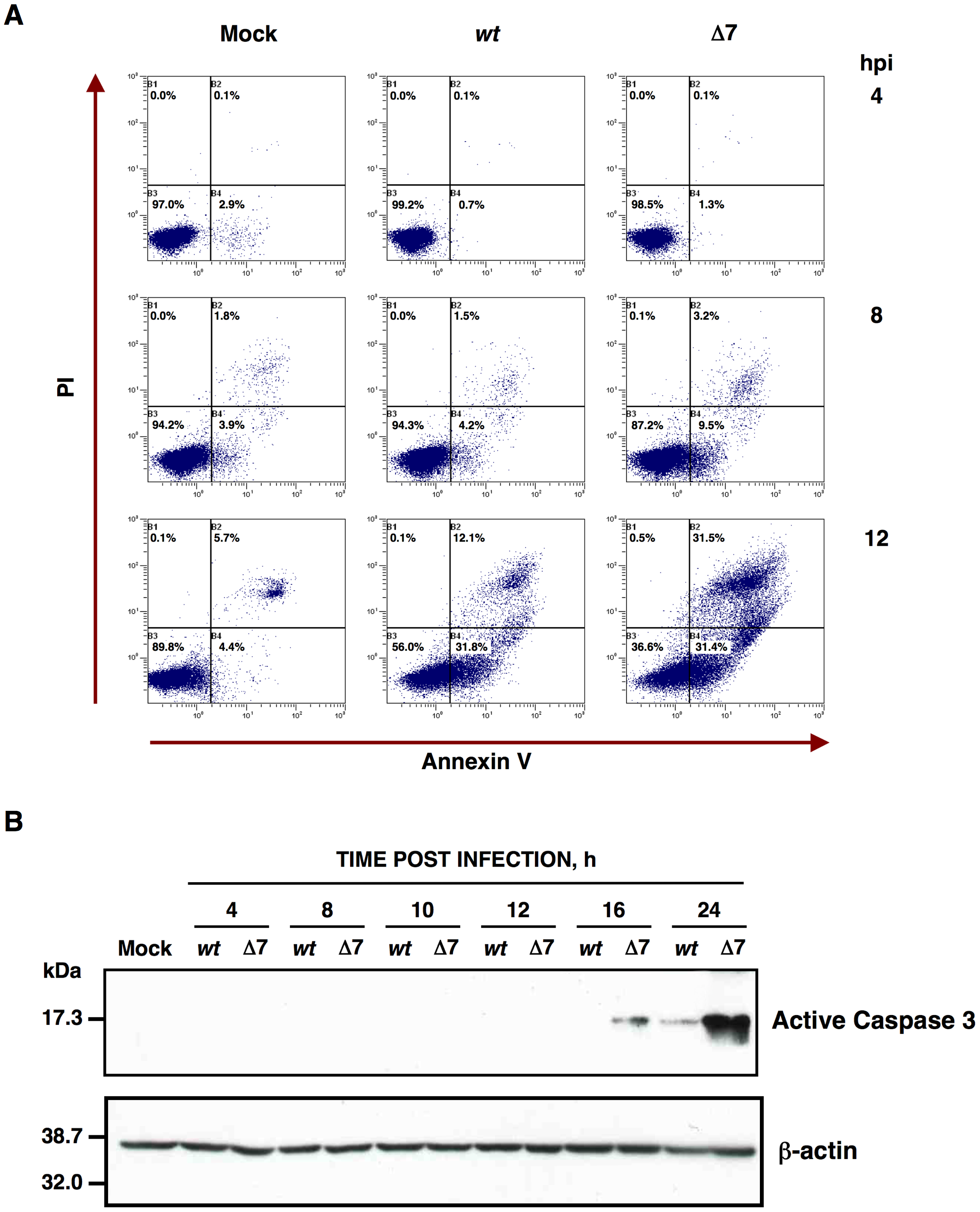 Apoptosis caused by rTGEV-Δ7.