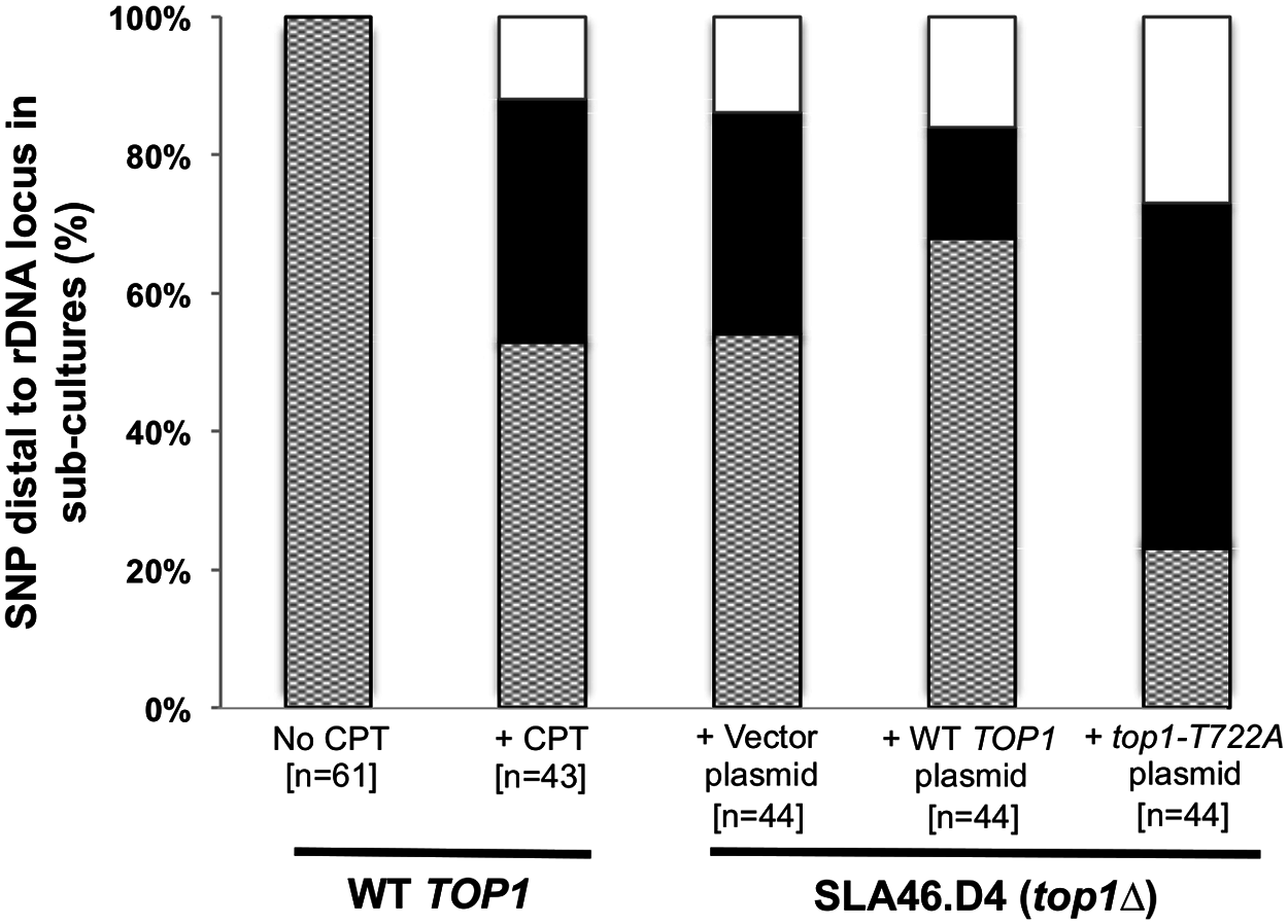 CPT treatment and Top1-T722A expression result in increased RCOs at the rDNA locus.